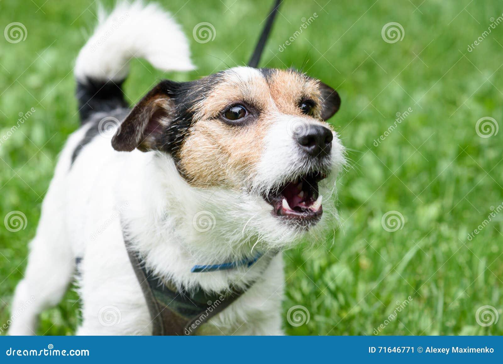 逗人喜爱的咆哮狗不积极在皮带