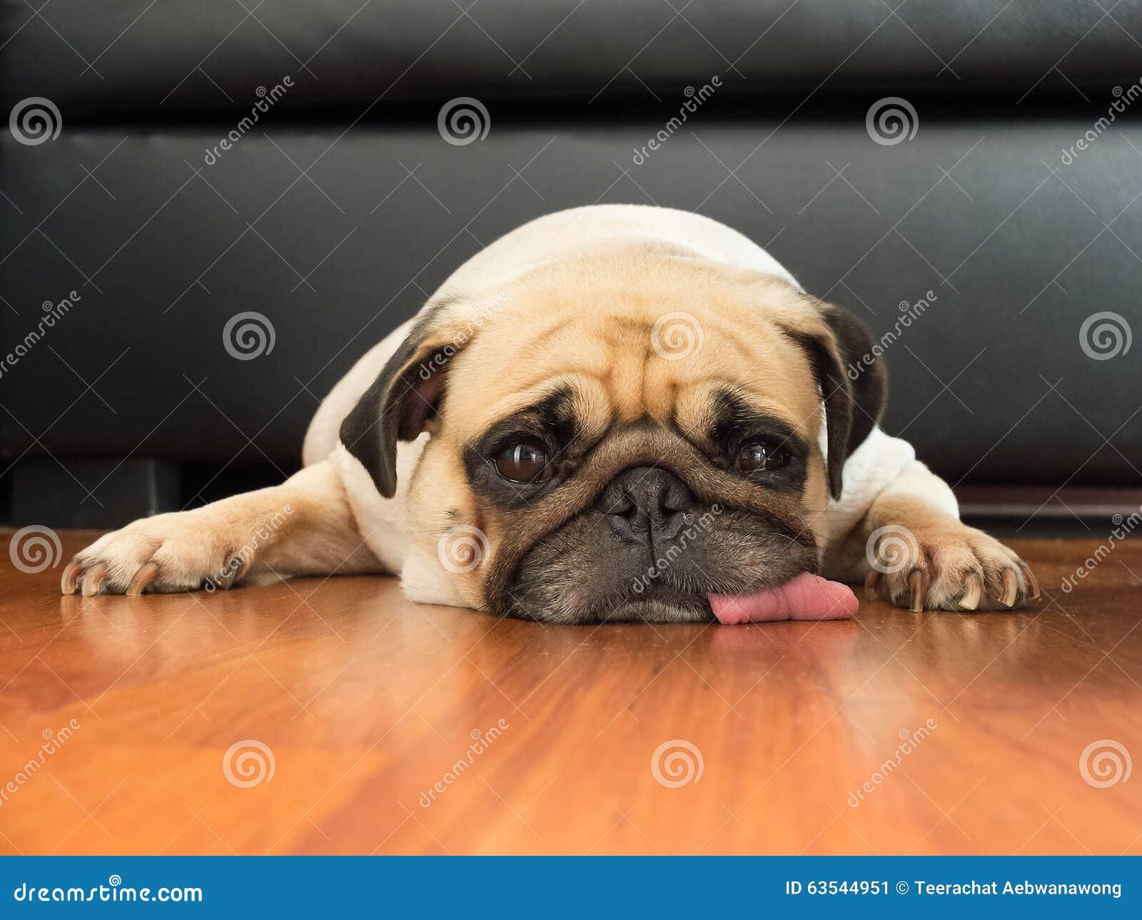 逗人喜爱的哈巴狗小狗睡觉休息的特写镜头面孔由下巴张开眼睛,并且舌头放下地板