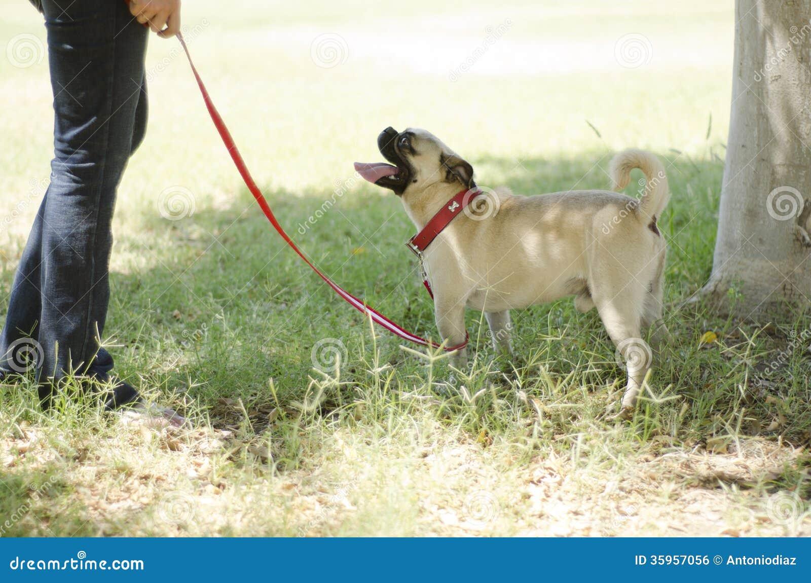 逗人喜爱的哈巴狗狗和所有者在公园