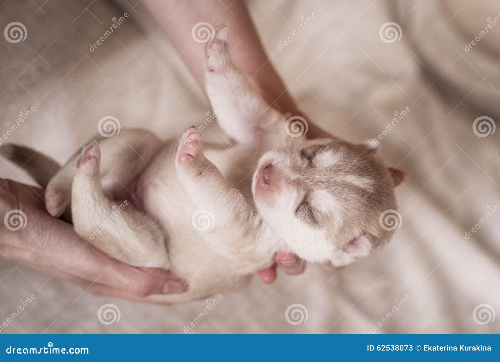 逗人喜爱的小狗西伯利亚爱斯基摩人