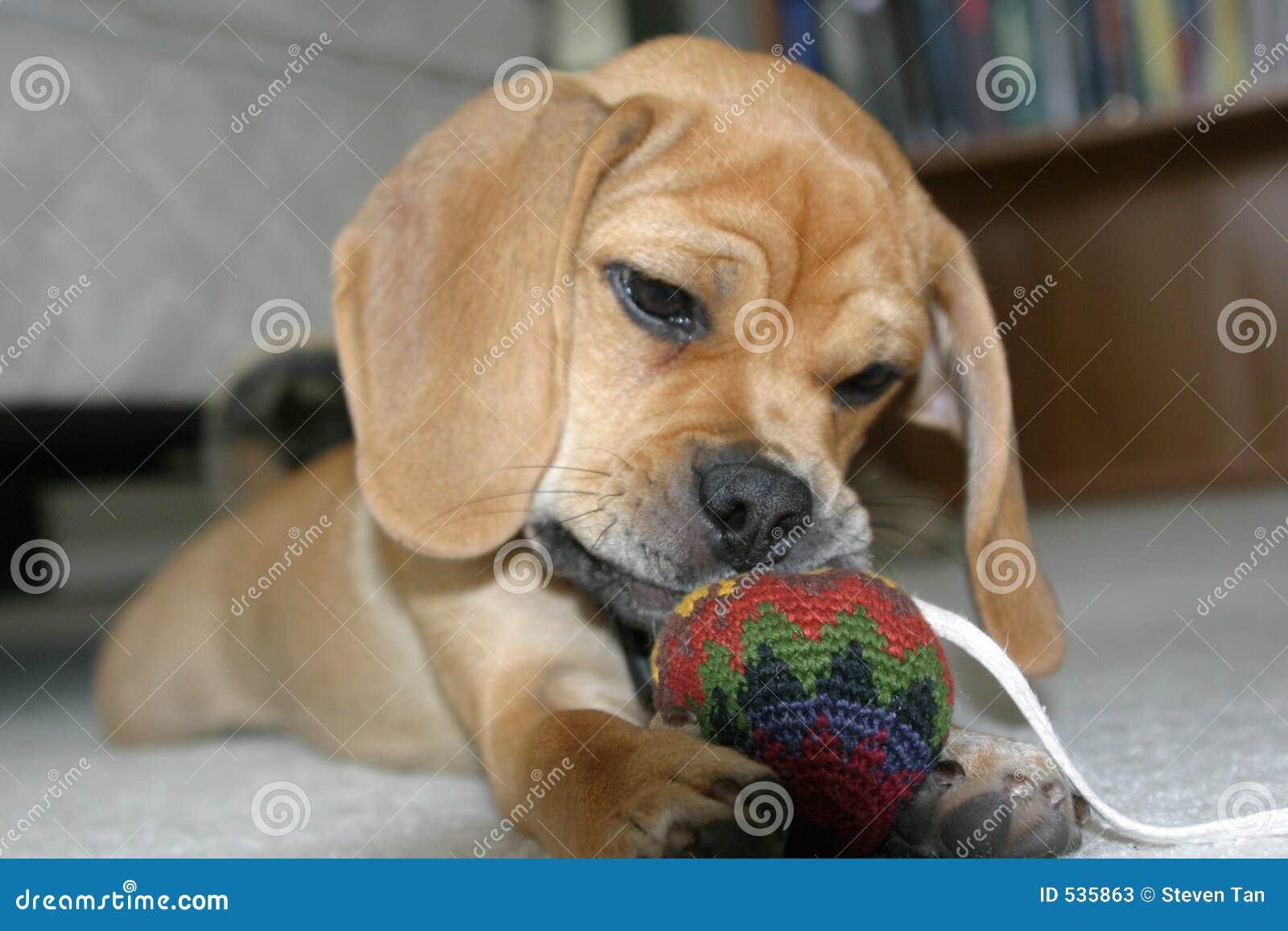 Download 逗人喜爱的小狗 库存图片. 图片 包括有 哈巴狗, 宠物, 小狗, 额嘴, 使用, 逗人喜爱 - 535863