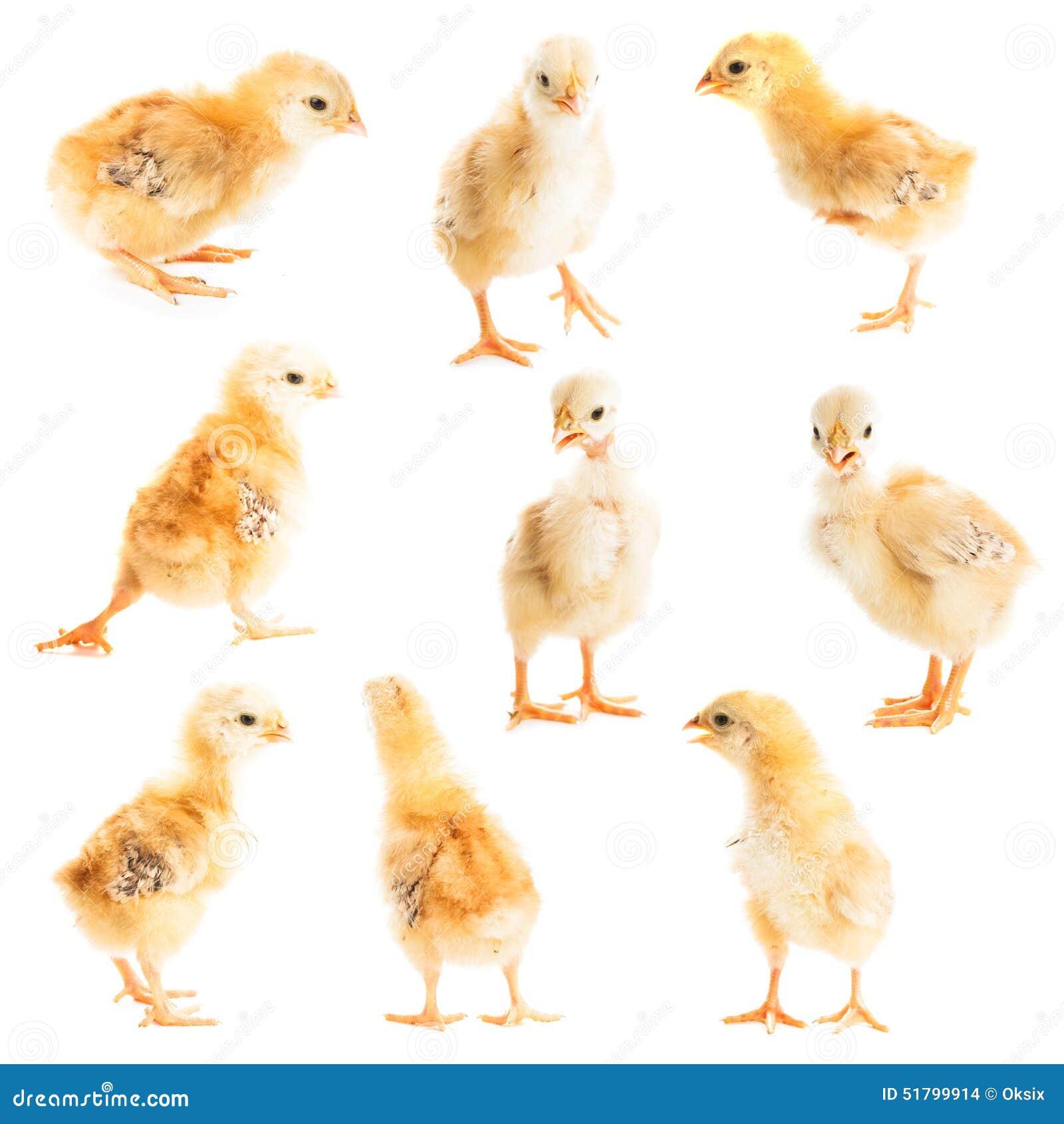 逗人喜爱的小鸡