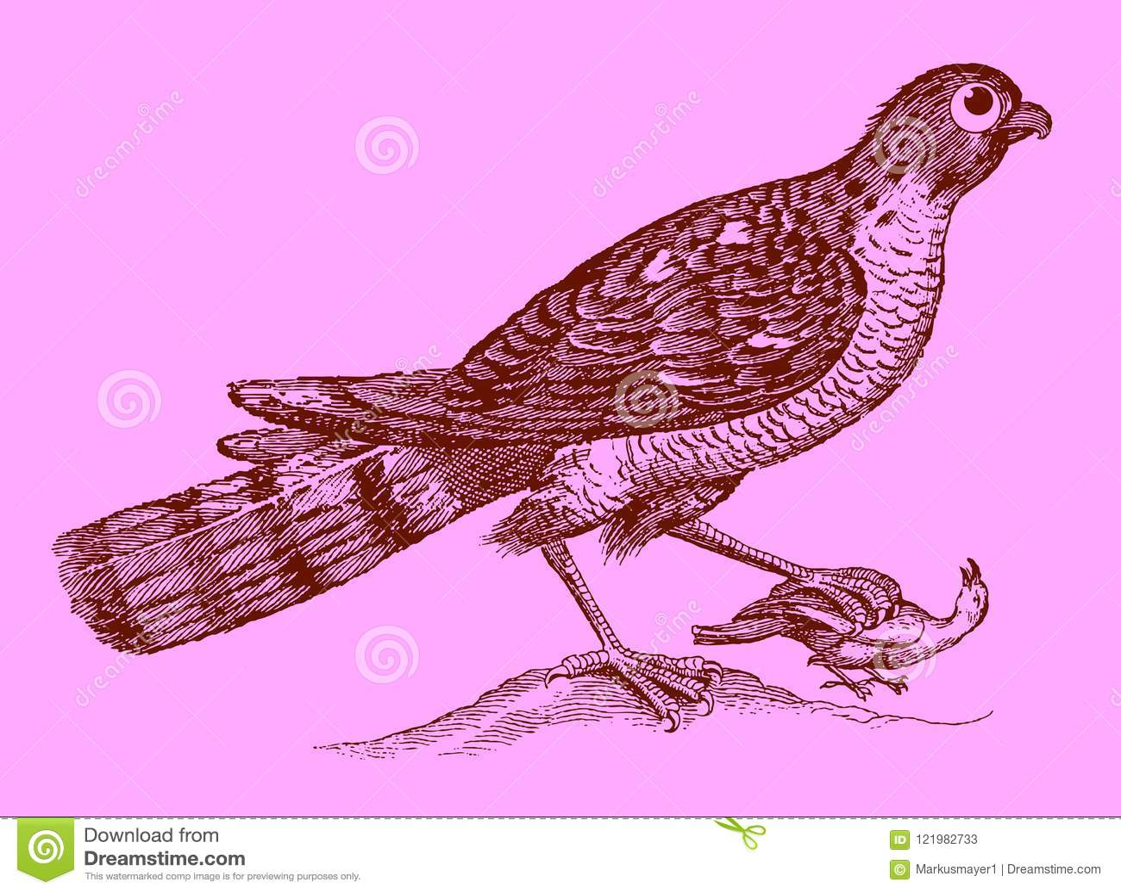 逗人喜爱的掠食性动物:拿着在t的欧亚sparrowhawk一只被夺取的鸟