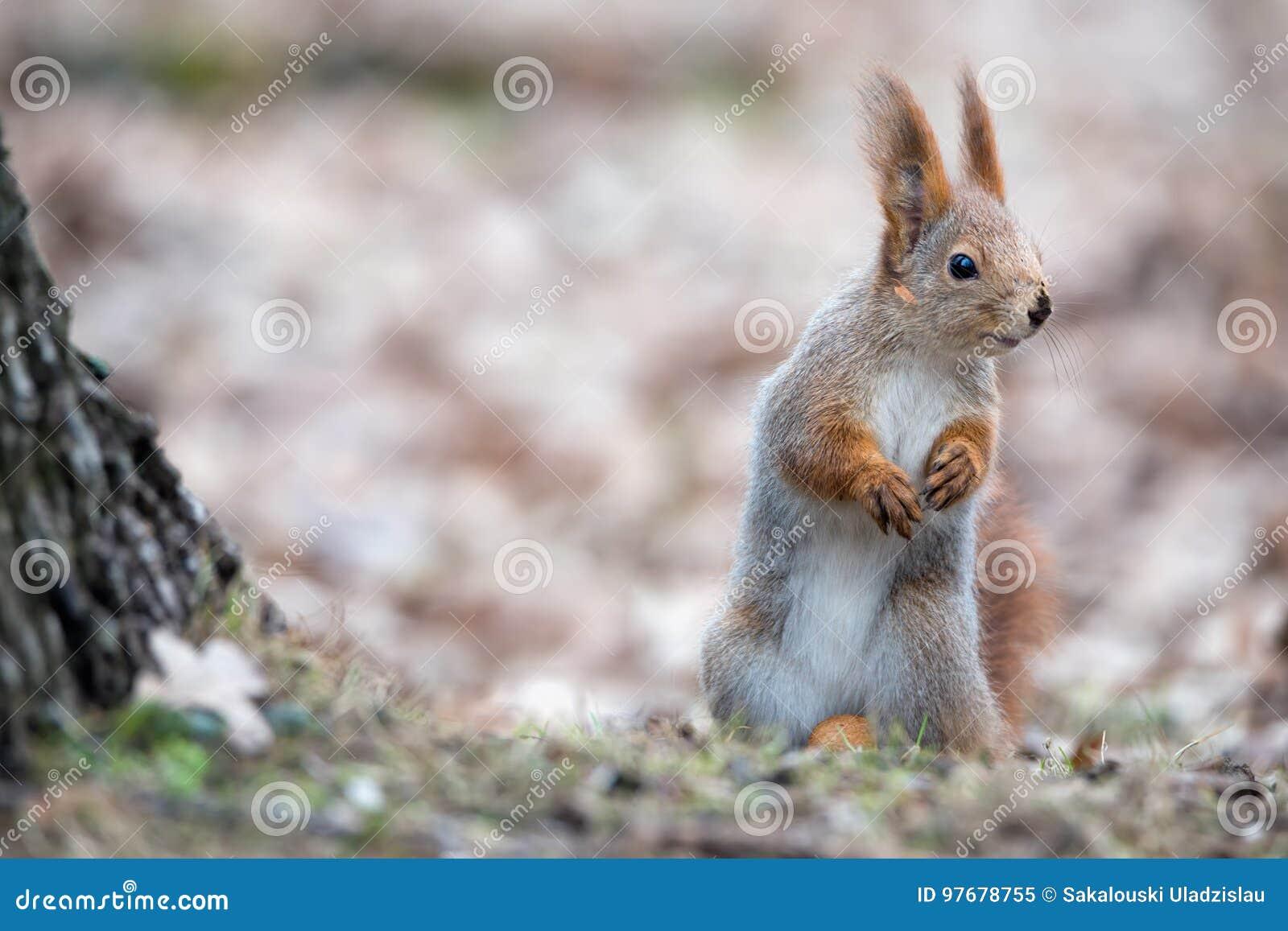 逗人喜爱的欧亚在秋天叶子的红松鼠中型松鼠寻常的立场在树附近和神色纠正 灰鼠掩藏大N