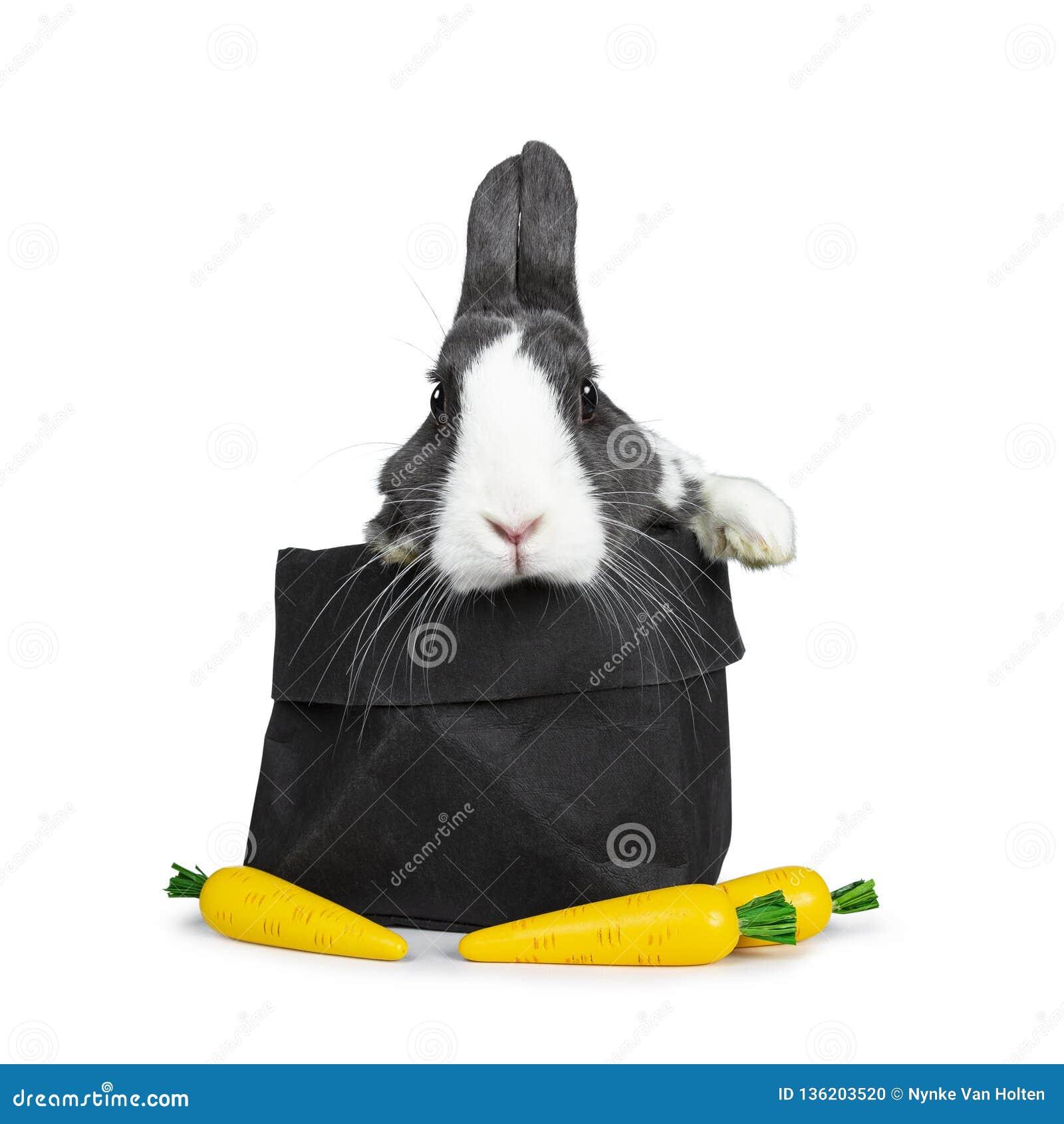 逗人喜爱的灰色用白色欧洲的兔子,隔绝在白色背景