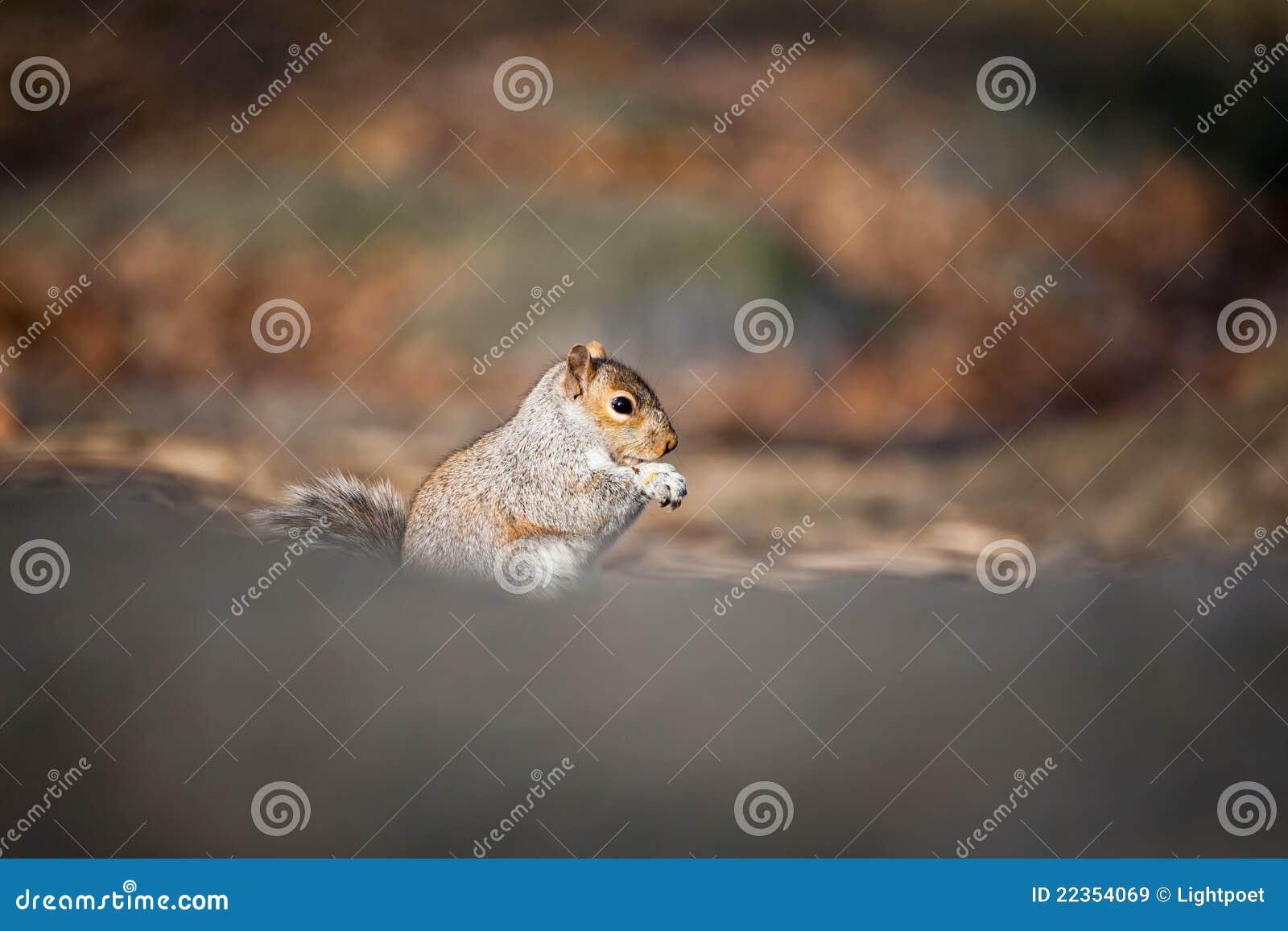 逗人喜爱的灰鼠