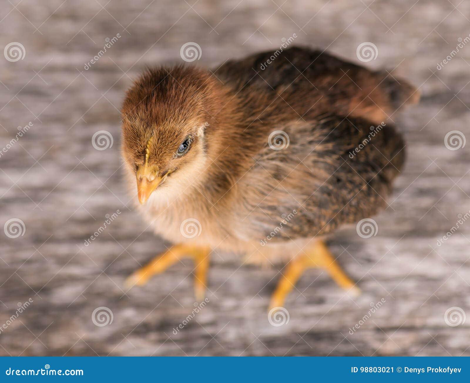 逗人喜爱的矮小的新出生的鸡