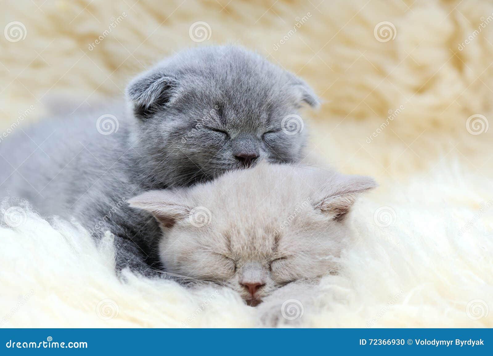 逗人喜爱的矮小的灰色小猫