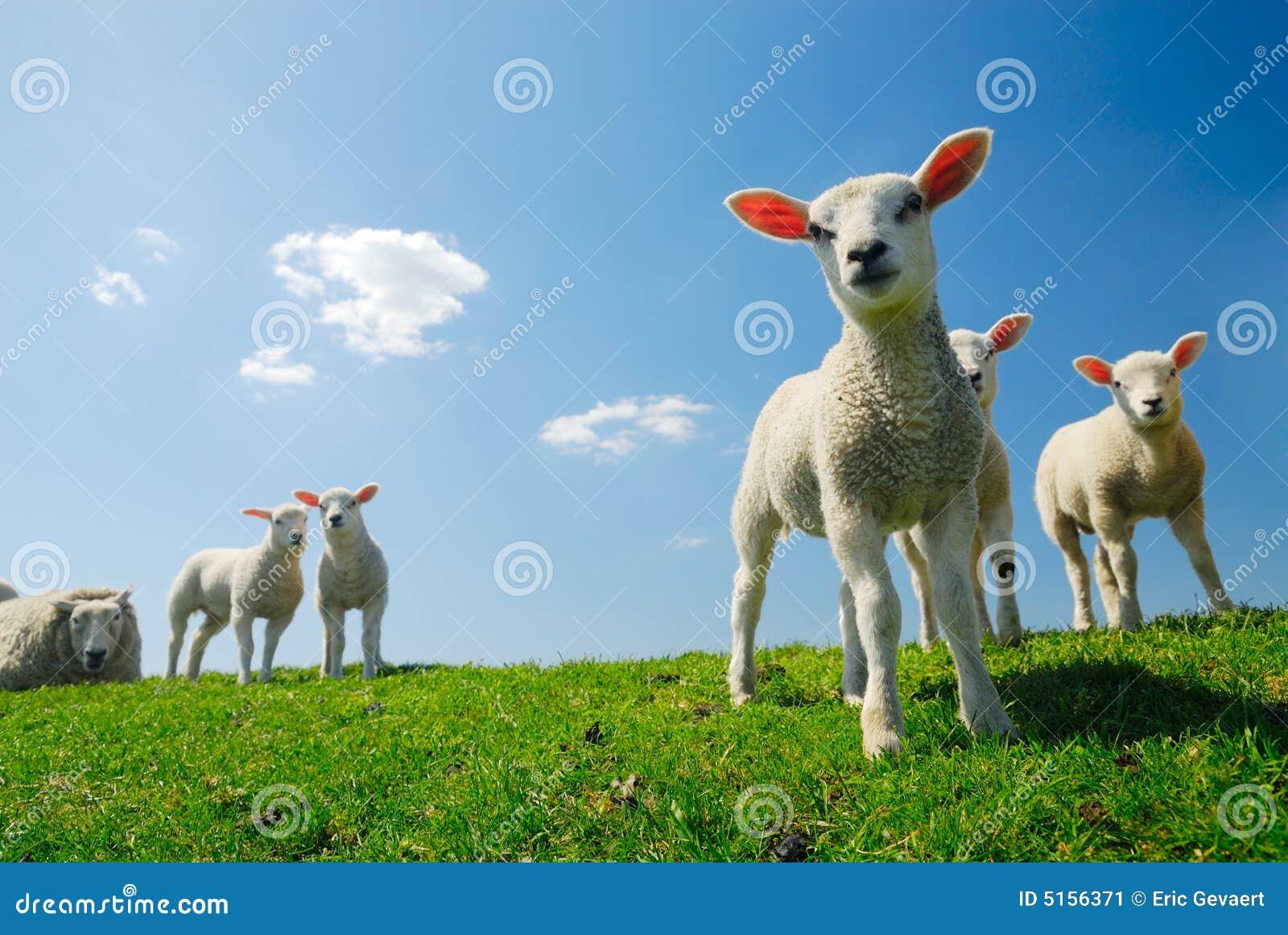 逗人喜爱的羊羔春天