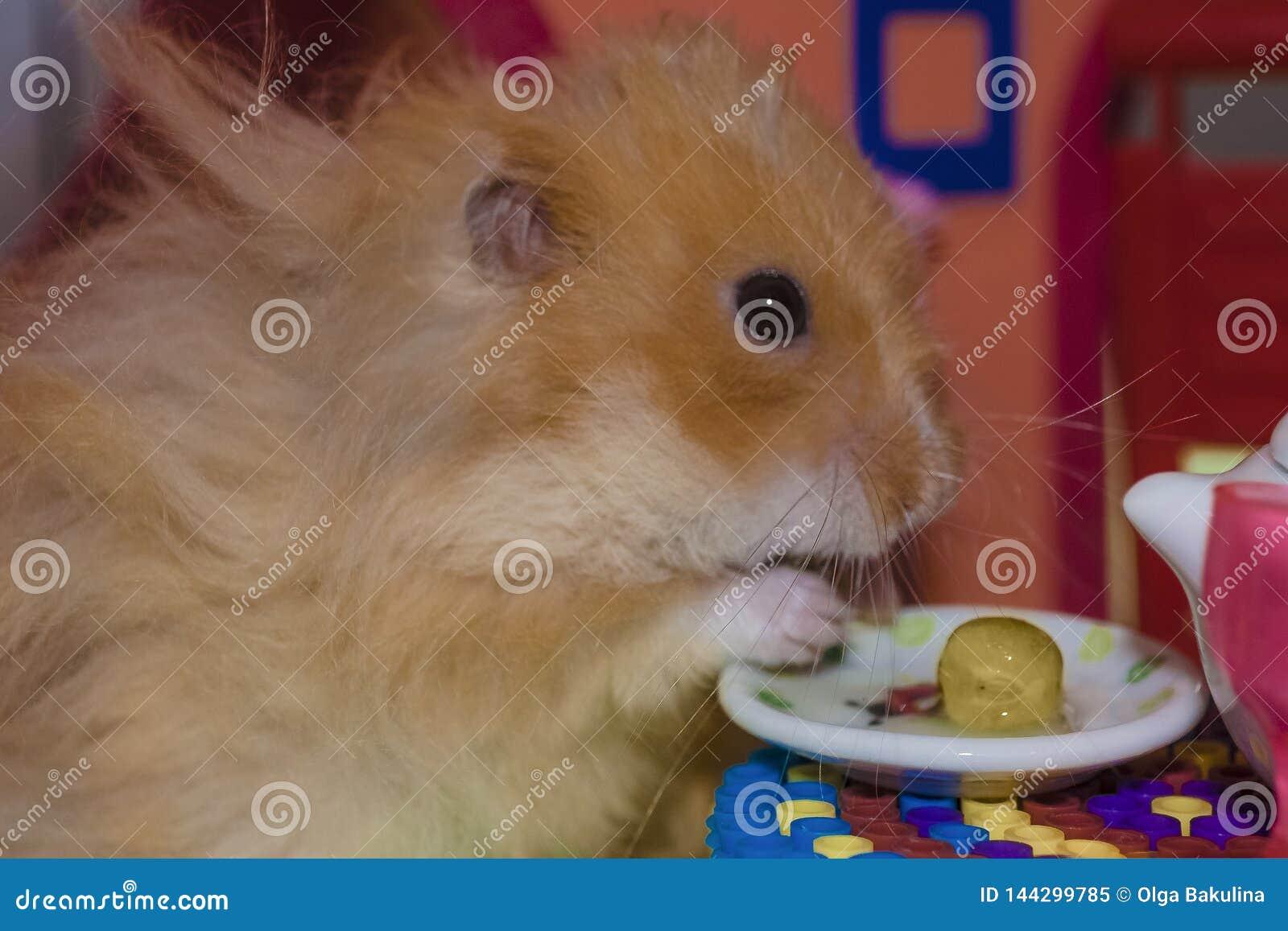 逗人喜爱的蓬松浅褐色的仓鼠吃观点扫描器在桌上在他的房子里