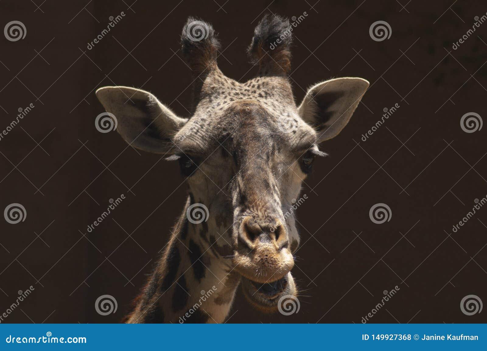 逗人喜爱的西非长颈鹿在洛杉矶动物园嚼反刍食物