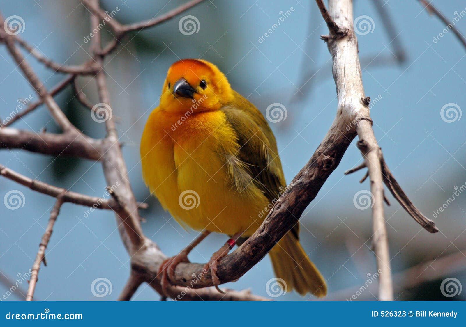 Download 逗人喜爱的雀科 库存图片. 图片 包括有 黄色, 本质, 公开承认, 栖息, 羽毛, 双翼飞机, 烧杯, 残破 - 526323