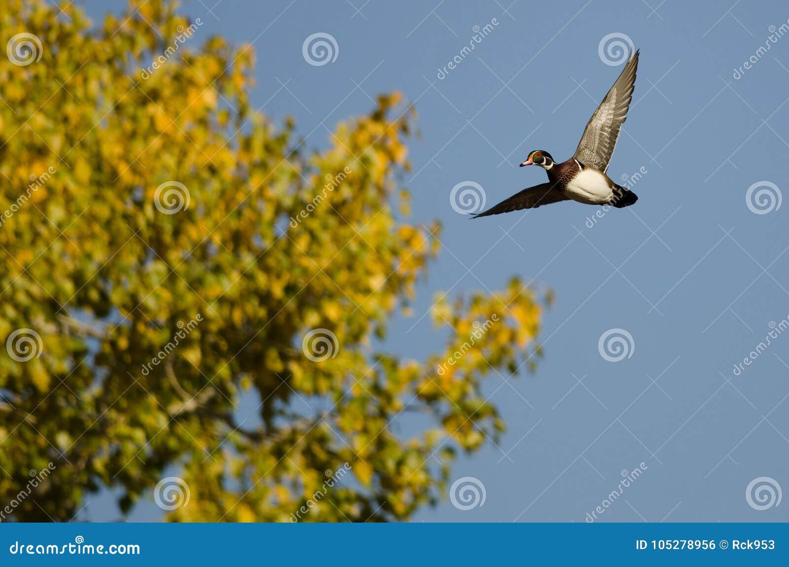 通过秋天树的孤立林鸳鸯飞行库存...
