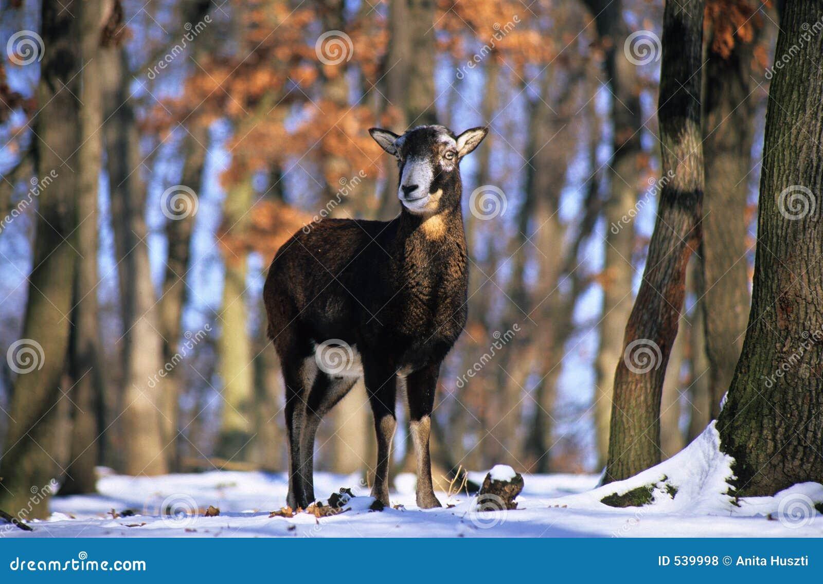 Download 通配的绵羊 库存照片. 图片 包括有 担任主角, 草食动物, 横向, 通配, 题头, 白兰地酒, 结构树, 户外 - 539998