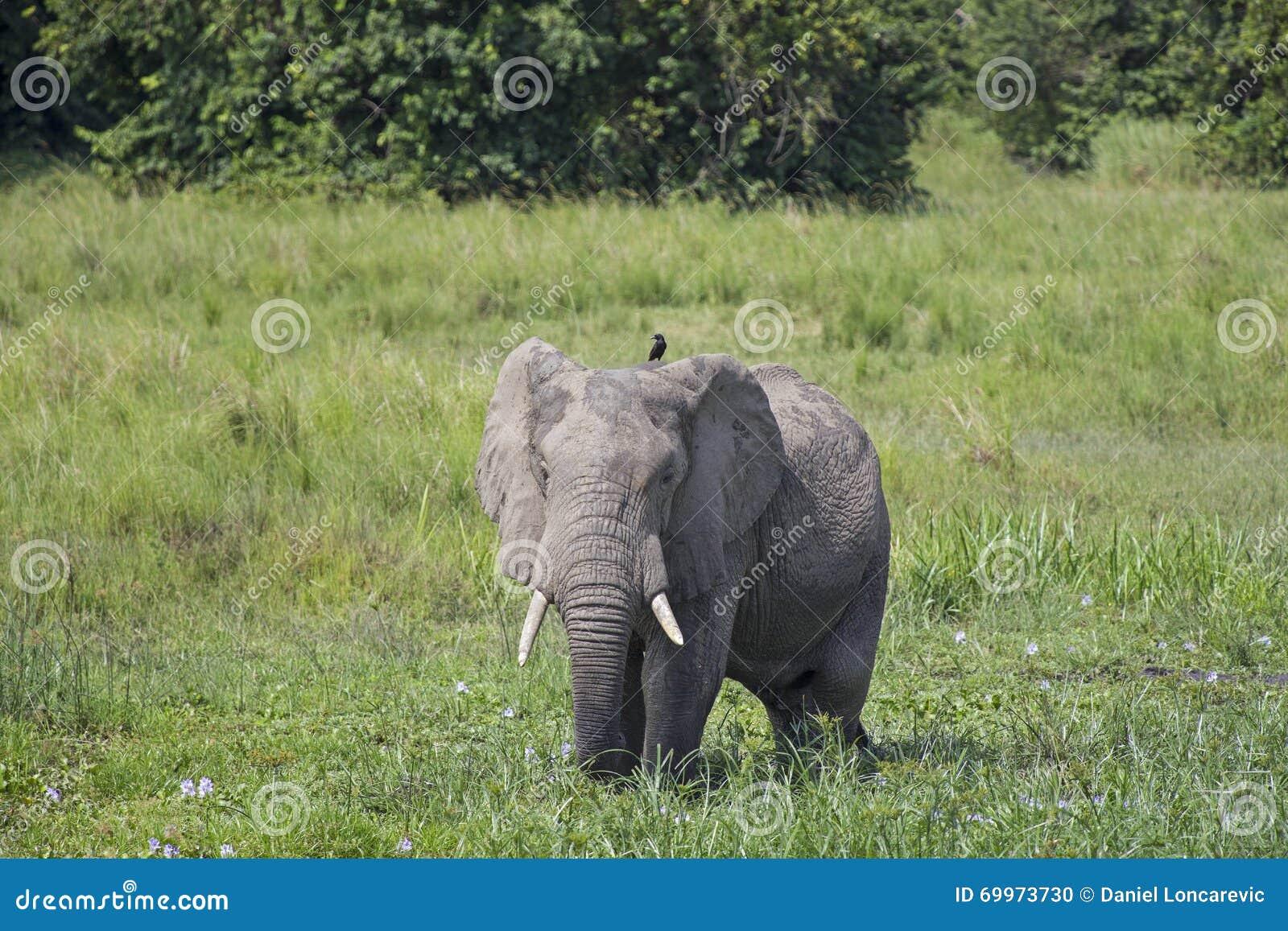 通配的非洲大象