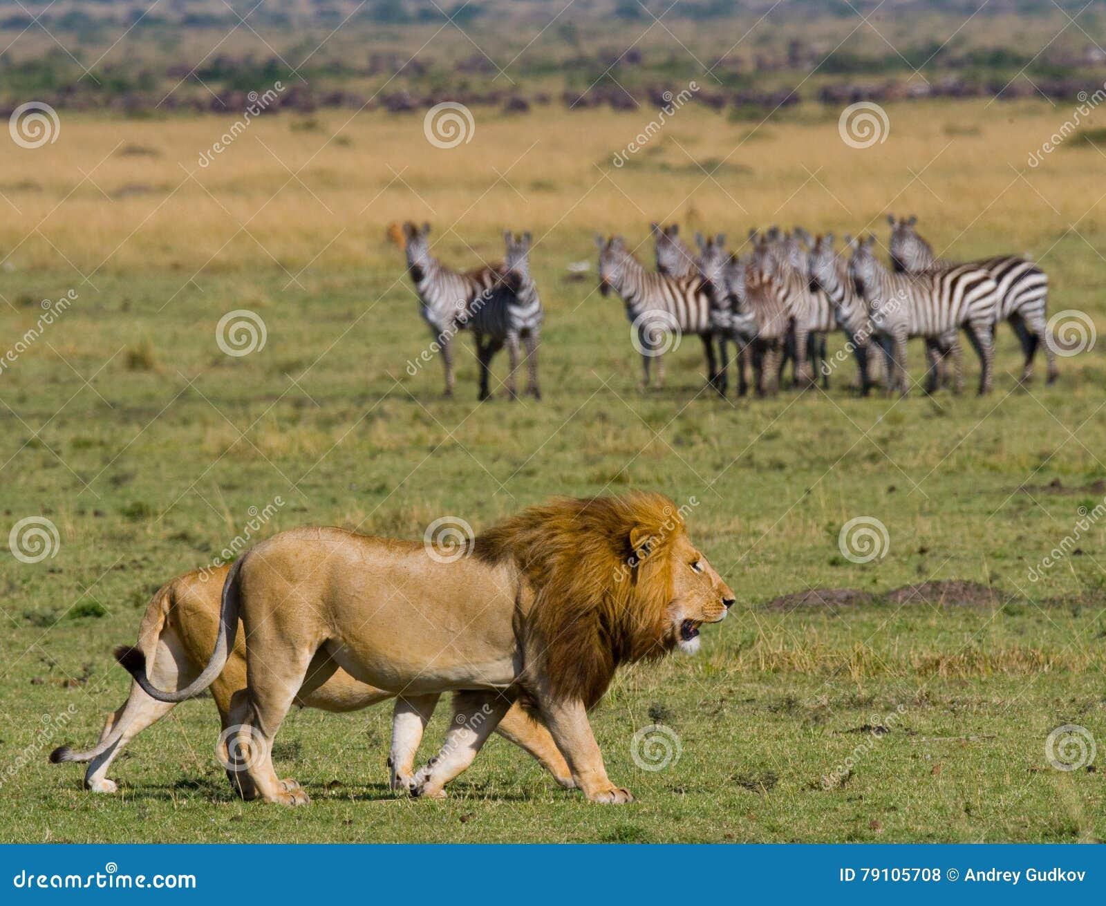 遇见狮子和雌狮在大草原 国家公园 肯尼亚 坦桑尼亚 mara马塞语 serengeti