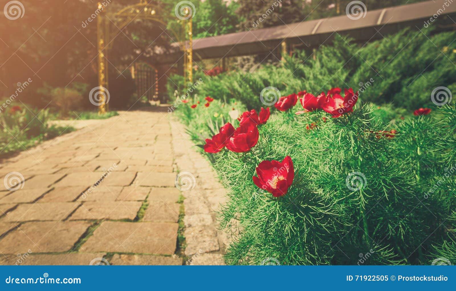 红色郁金香临近庭院道路 庭院风景设计  环境美化现代 花圃和常青树图片