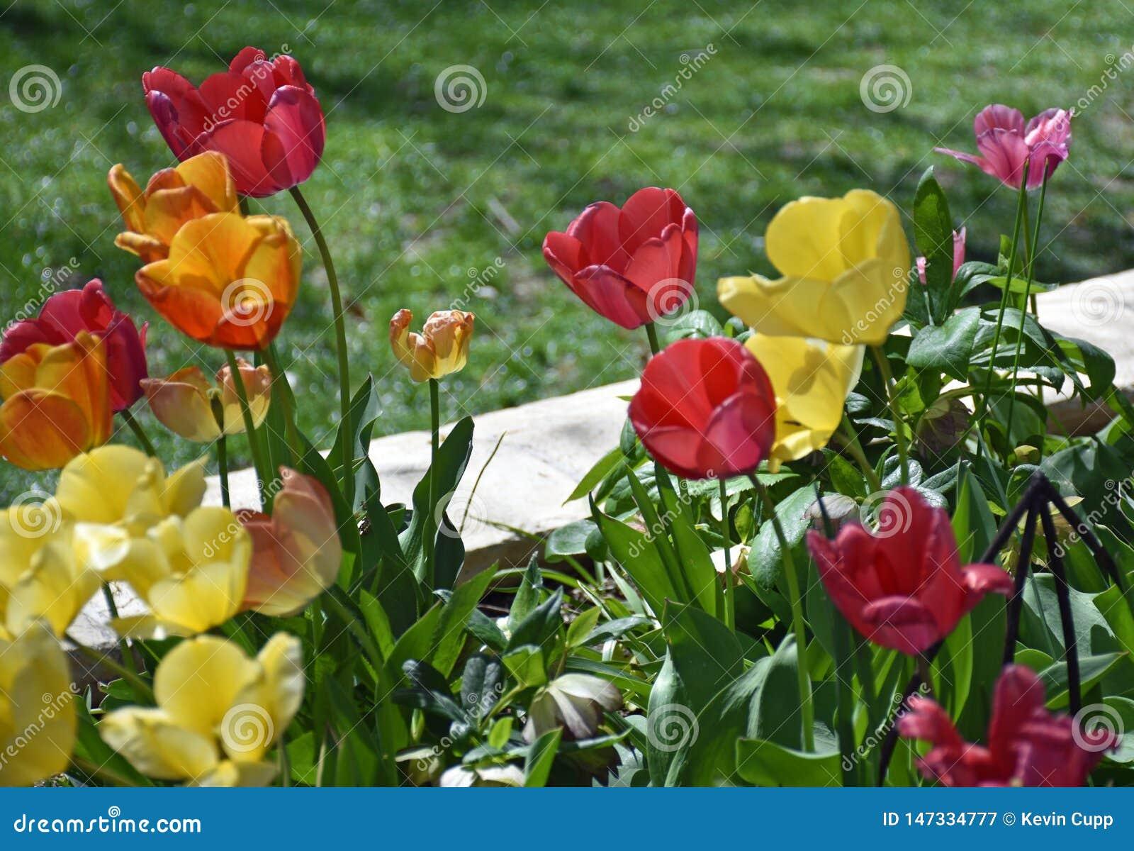 郁金香在春天的花床