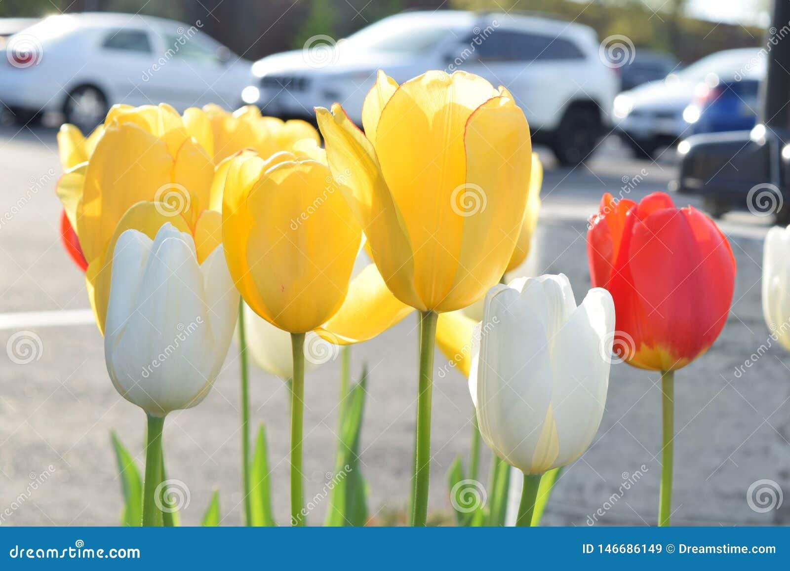 郁金香绽放在春天