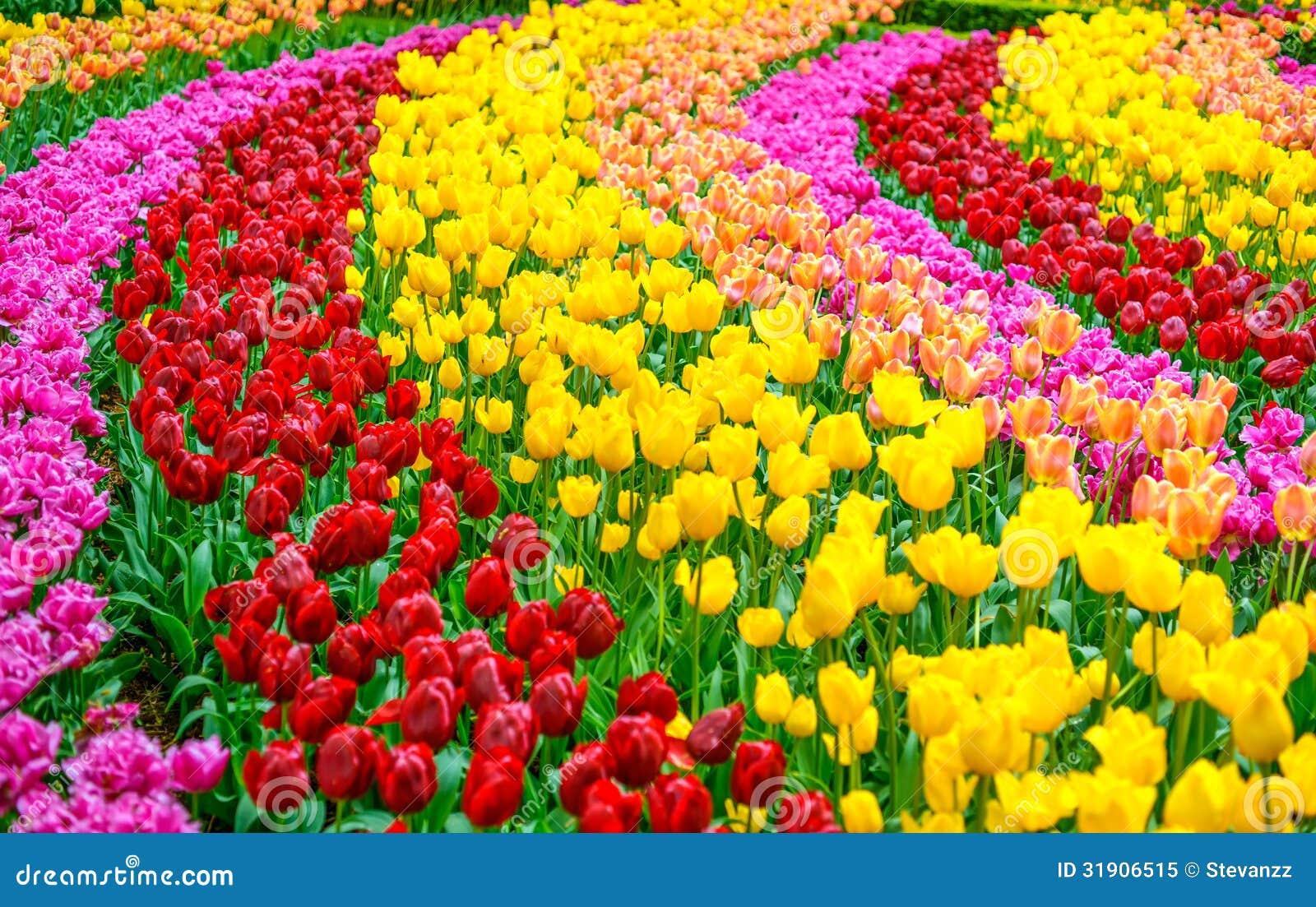 郁金香五颜六色的花园在春天背景,样式或者纹理中.