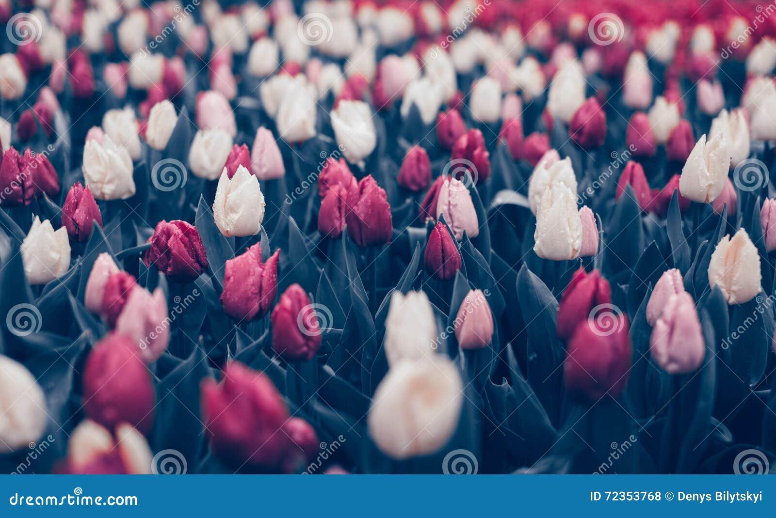 郁金香 美丽的花在春天停放,花卉背景 葡萄酒