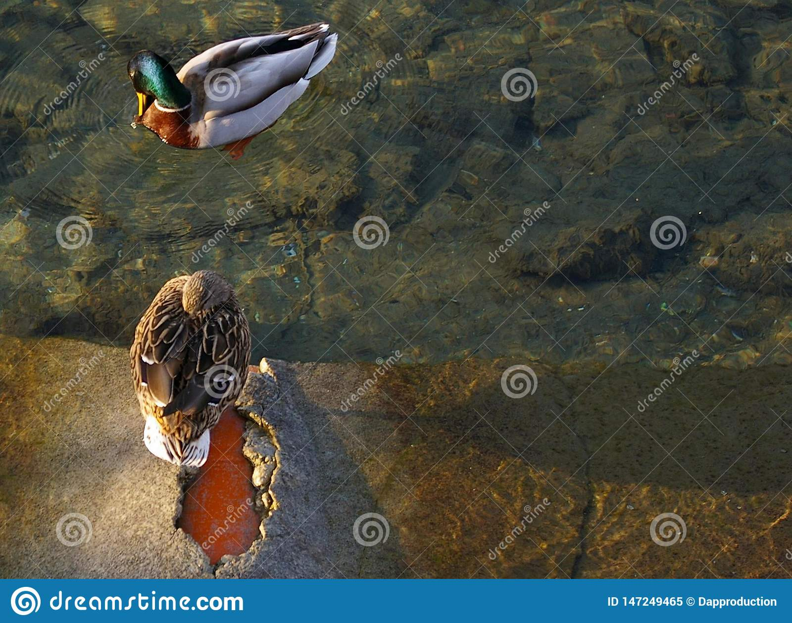 配对野鸭,鸭子,在湖放松