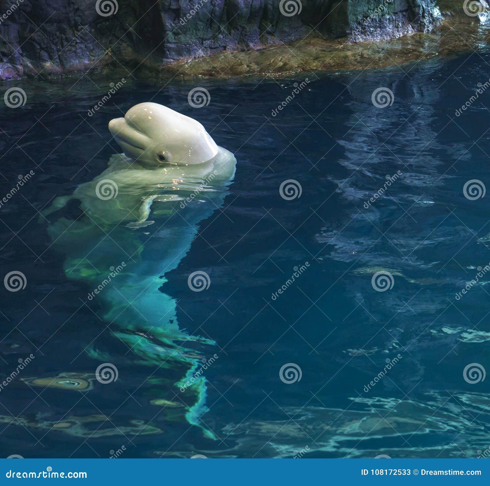 采取峰顶的白海豚鲸鱼在晚餐