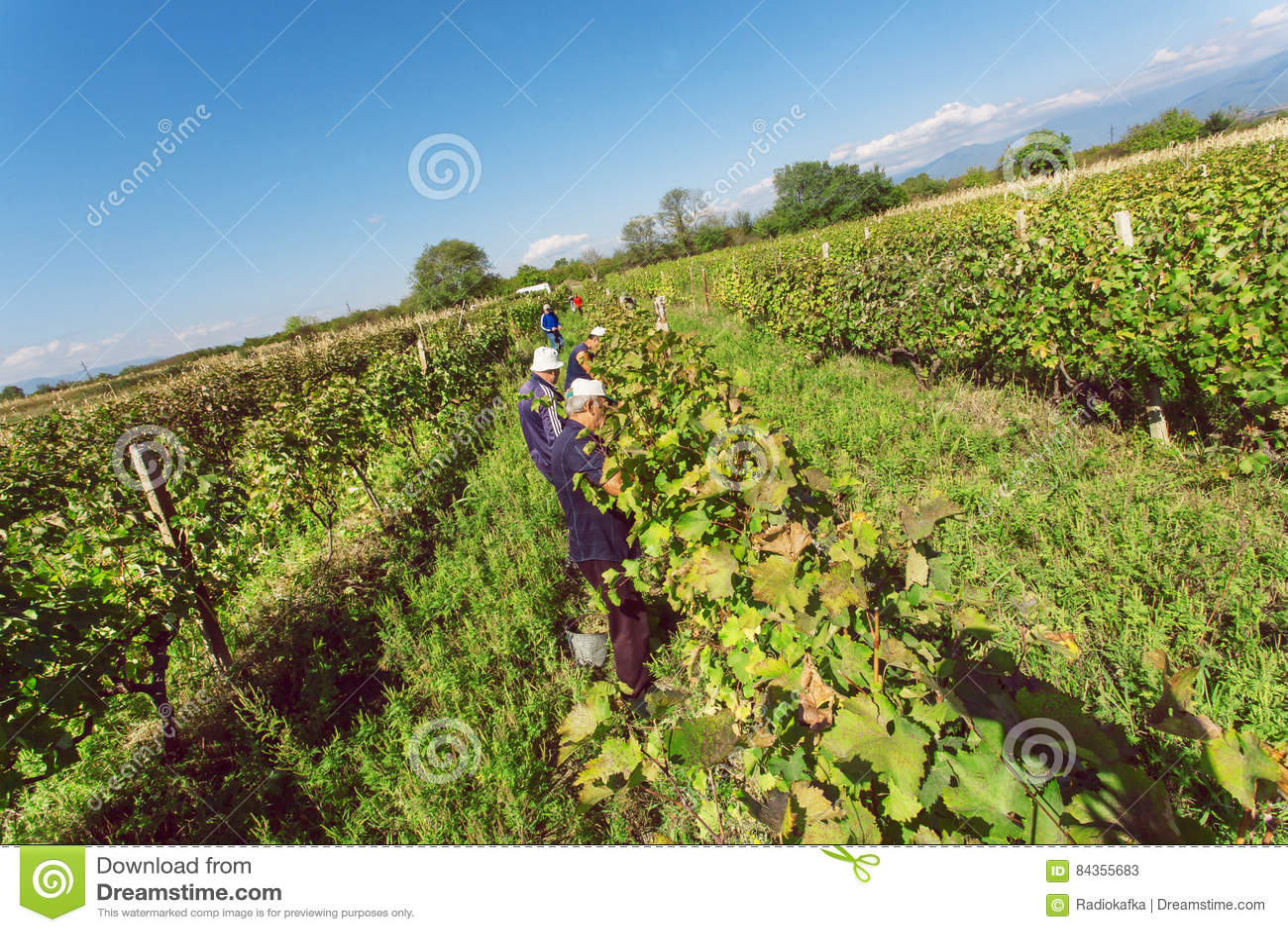 采取葡萄收获的小组工作者在有酒和葡萄园文化的英王乔治一世至三世时期村庄