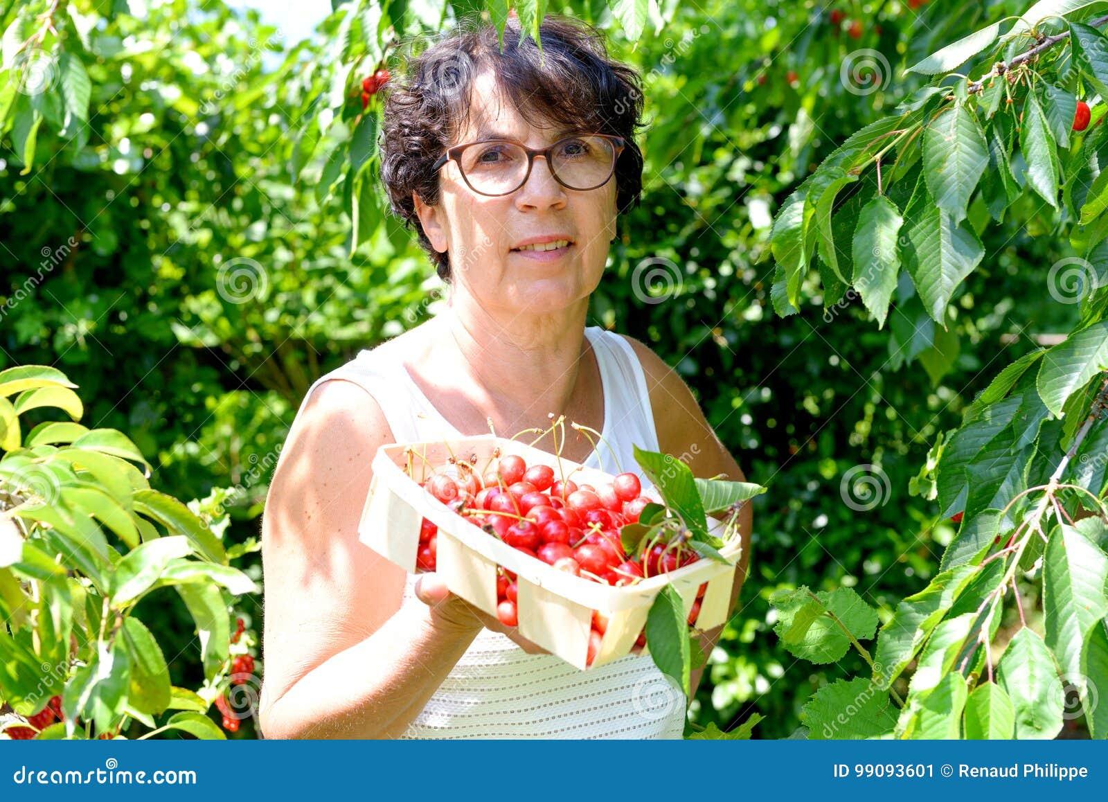 采摘从树的妇女红色樱桃在夏天庭院里