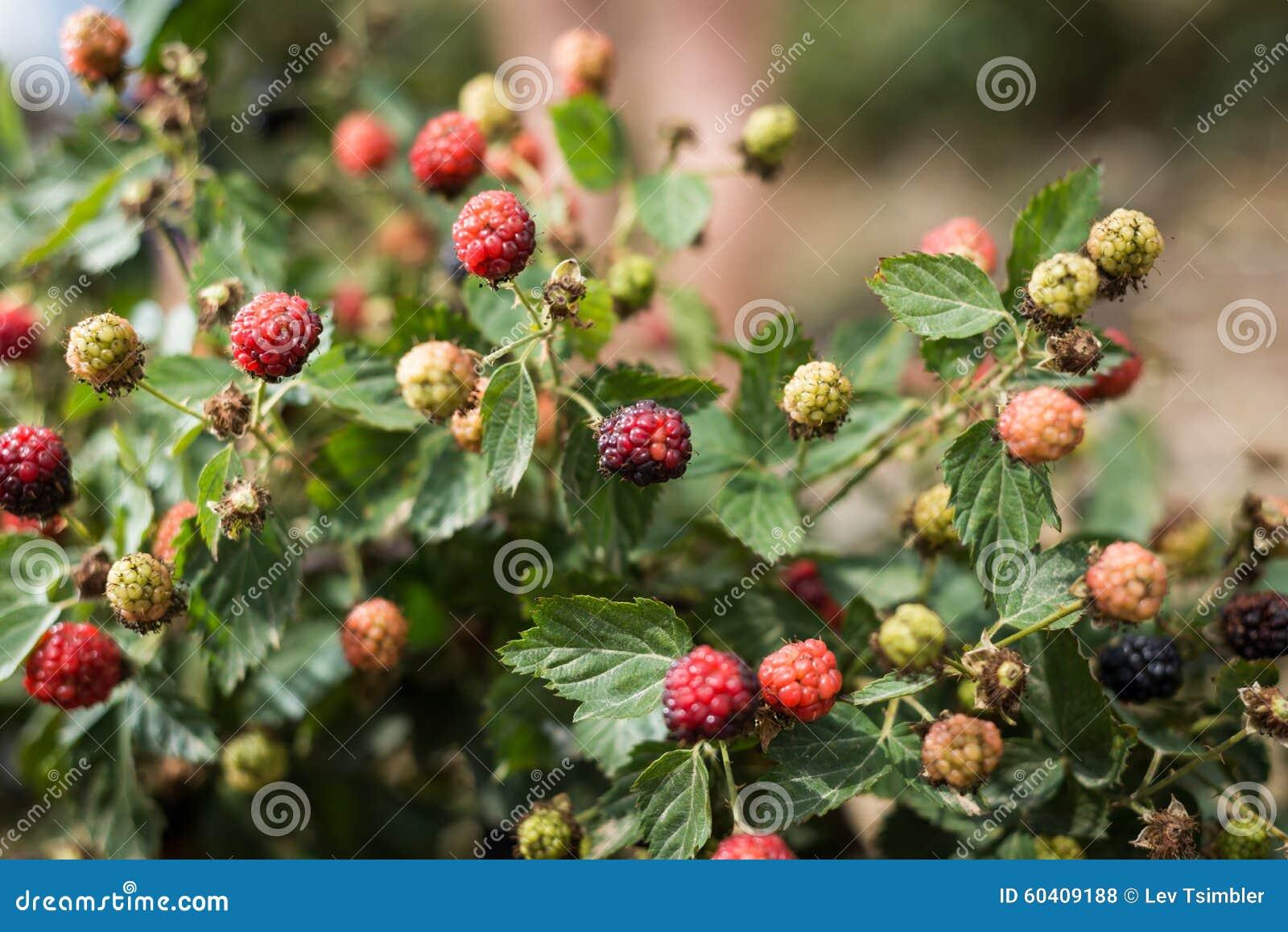 采摘在内盖夫加利利的伯利恒的莓