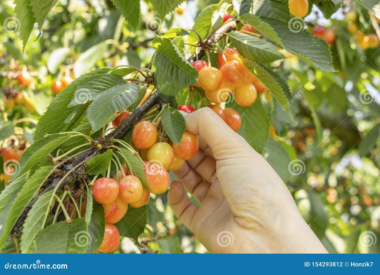 采摘水多的樱桃的妇女手在夏天