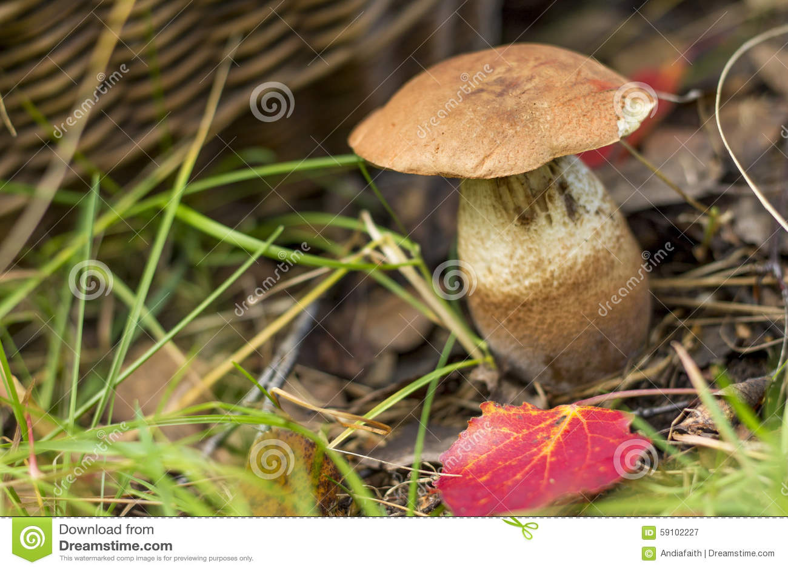 采蘑菇 在篮子背景的白木耳