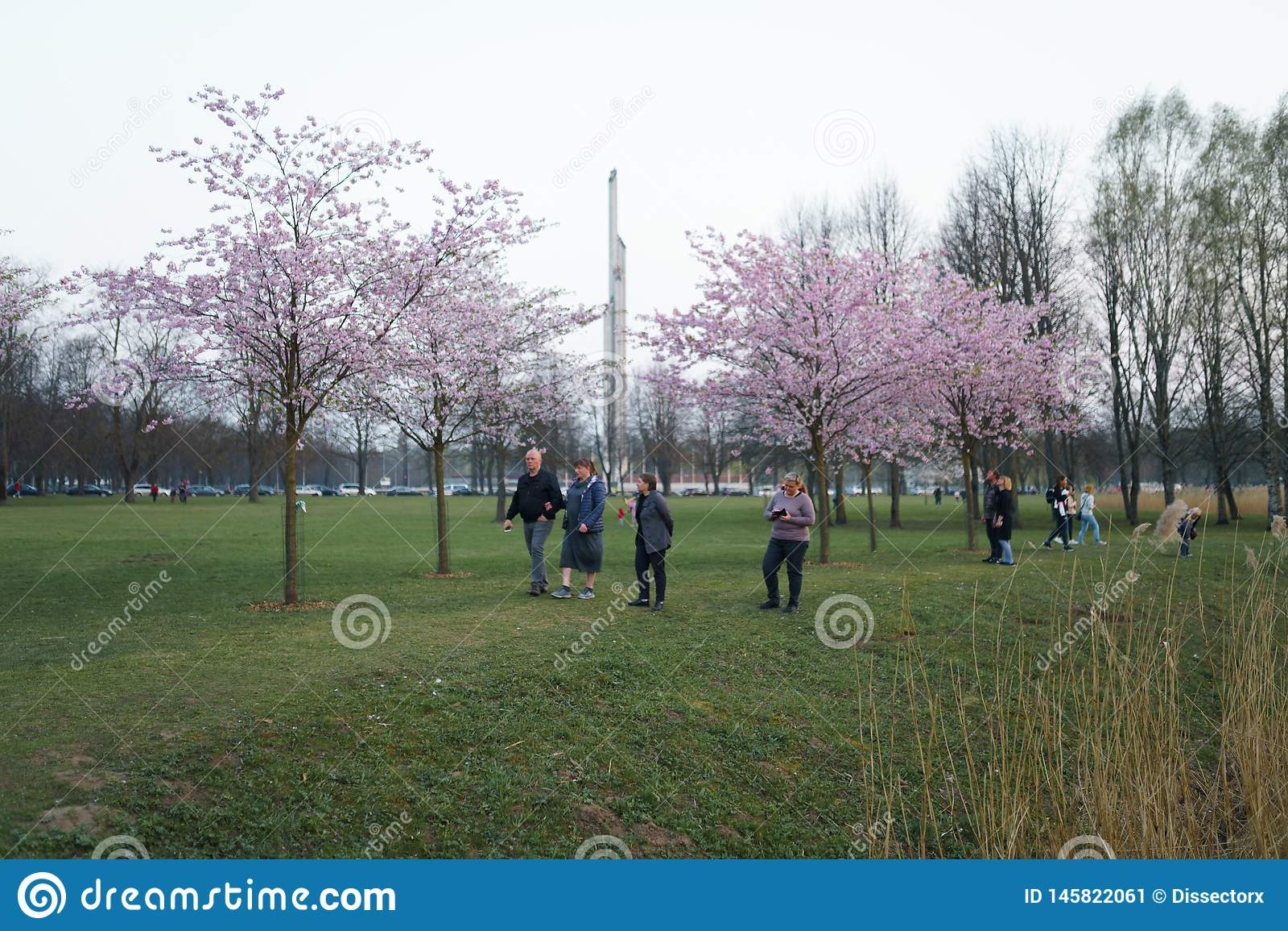 里加,拉脱维亚- 2019年4月24日:在胜利公园享用佐仓樱花-有海鸥飞行的城市运河的人