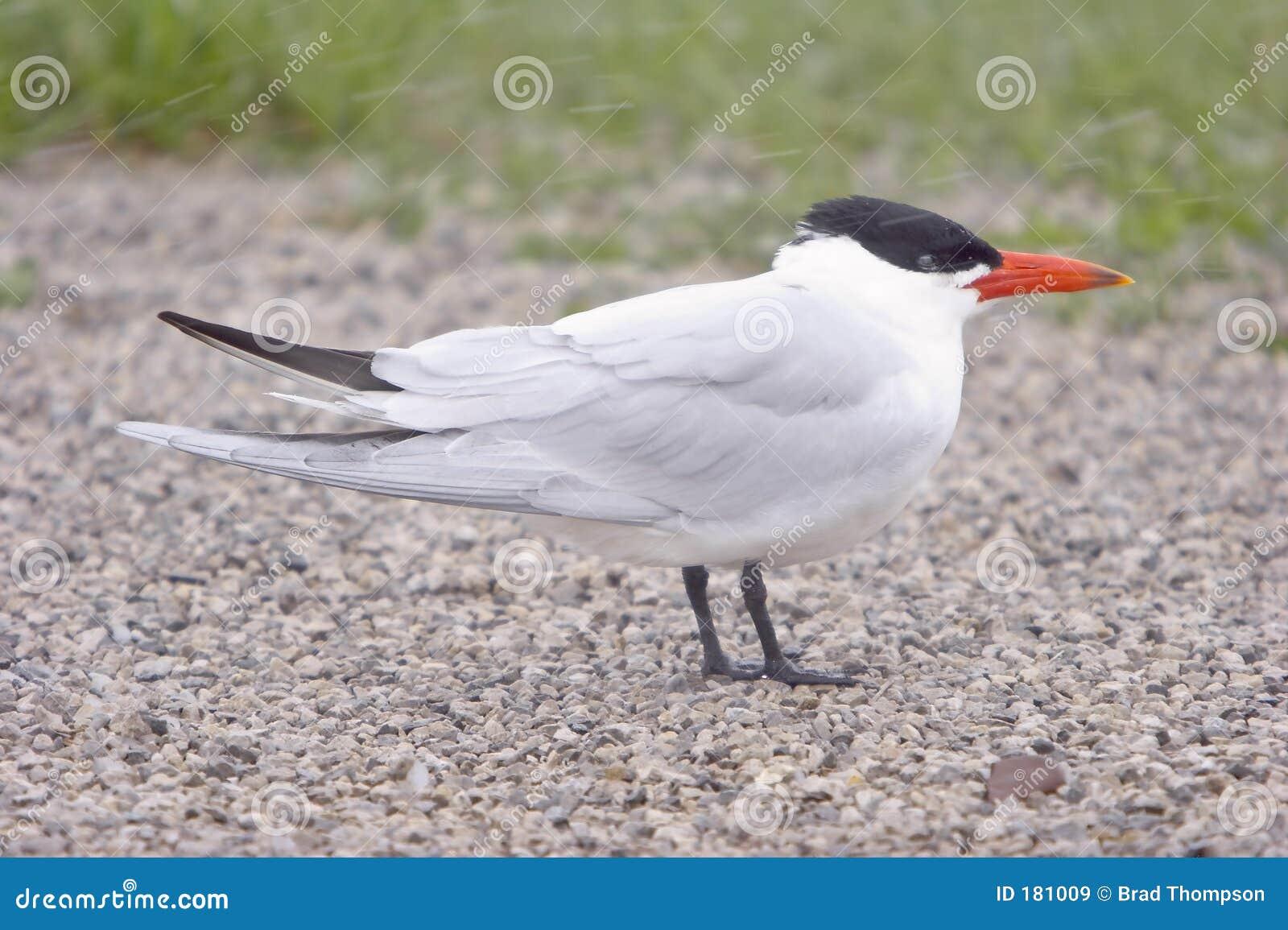 里海雪风暴燕鸥