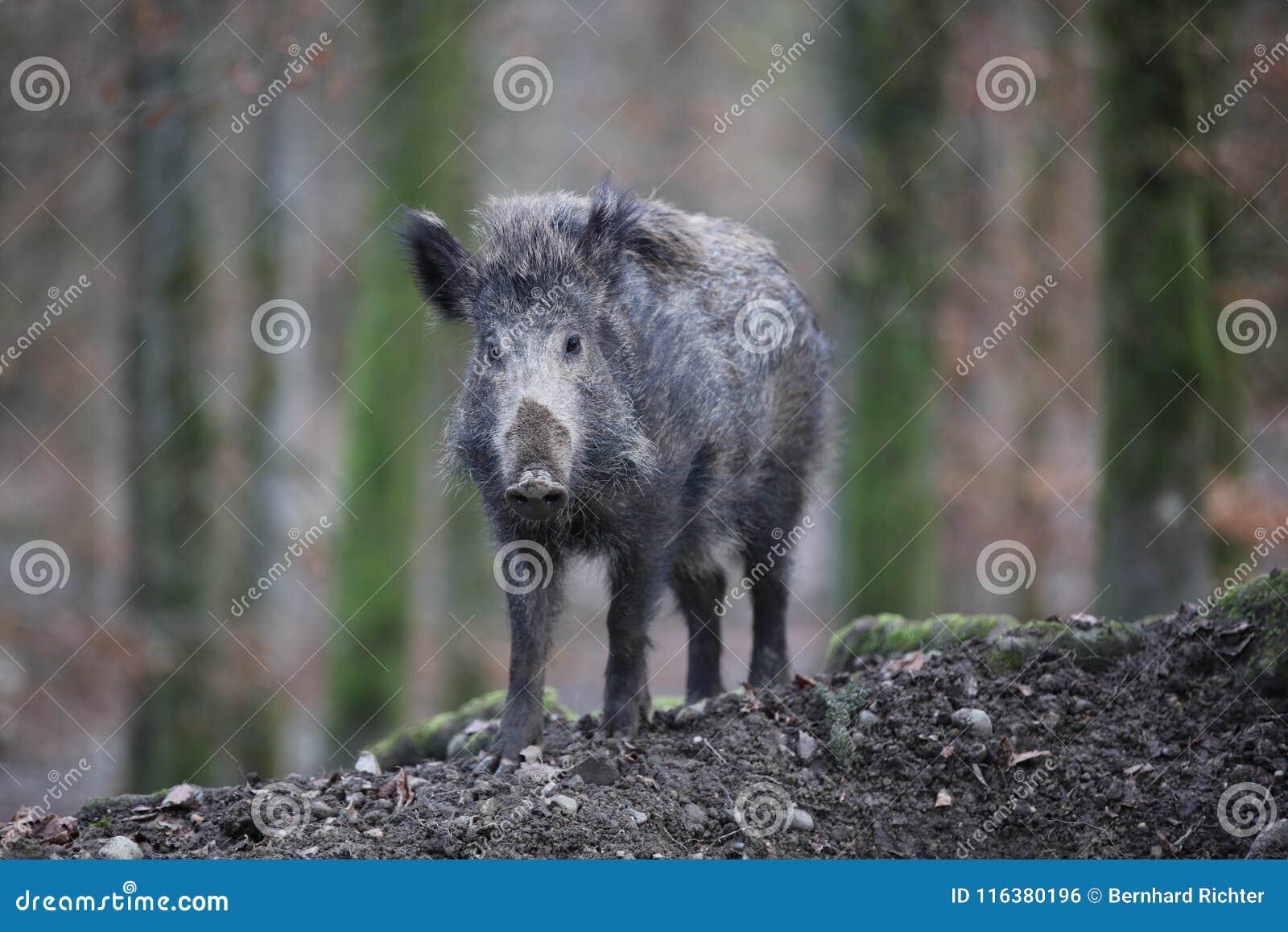 野公猪在森林德国里