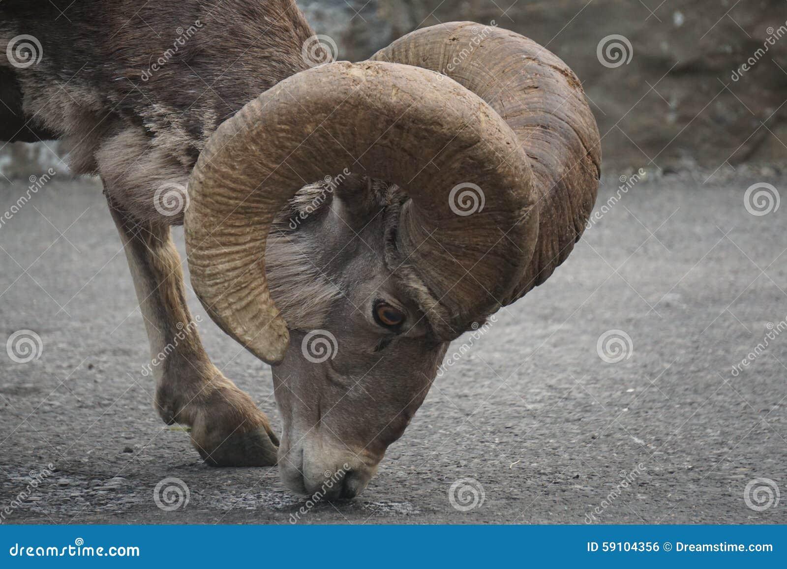 野山羊哺养