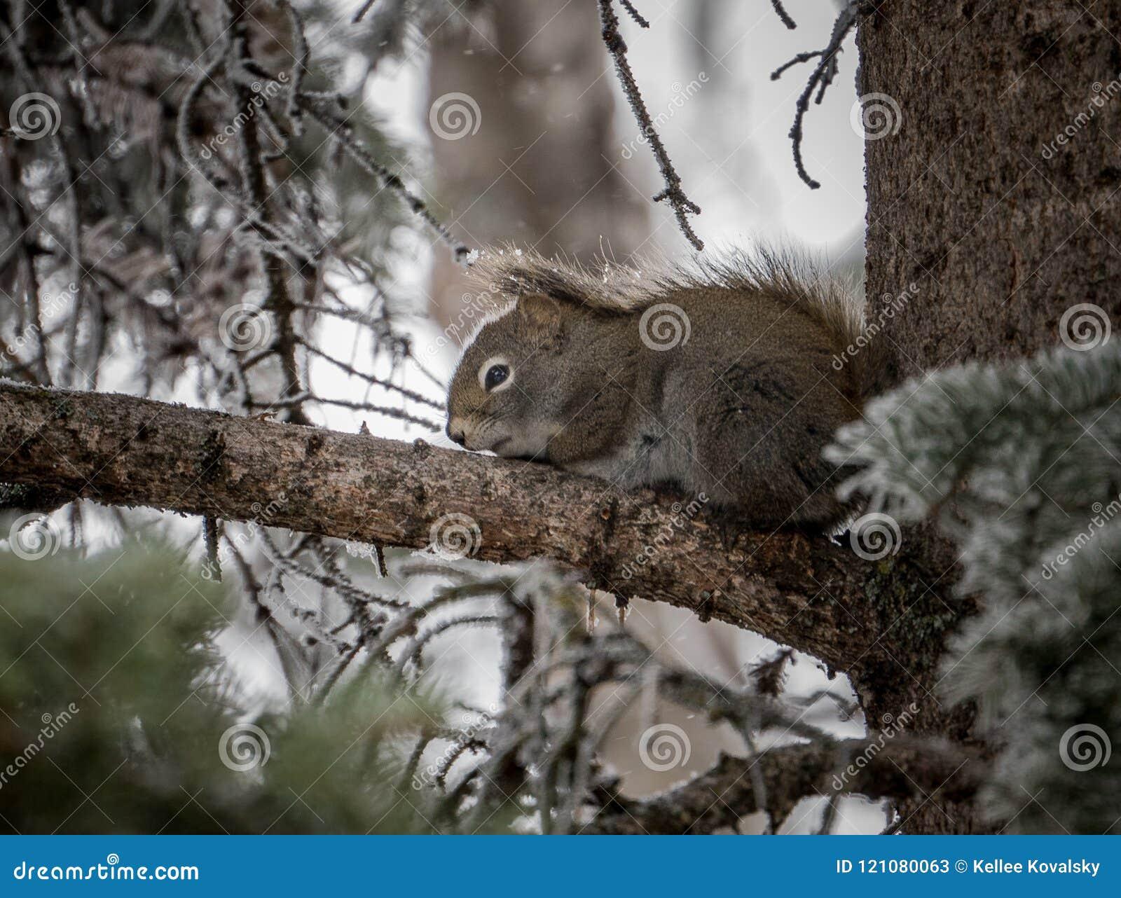 野生加拿大灰鼠挤作了一团反对树