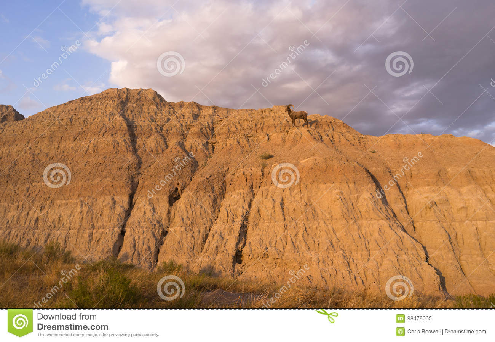 野生动物高沙漠大角野绵羊男性Ram荒地达可它