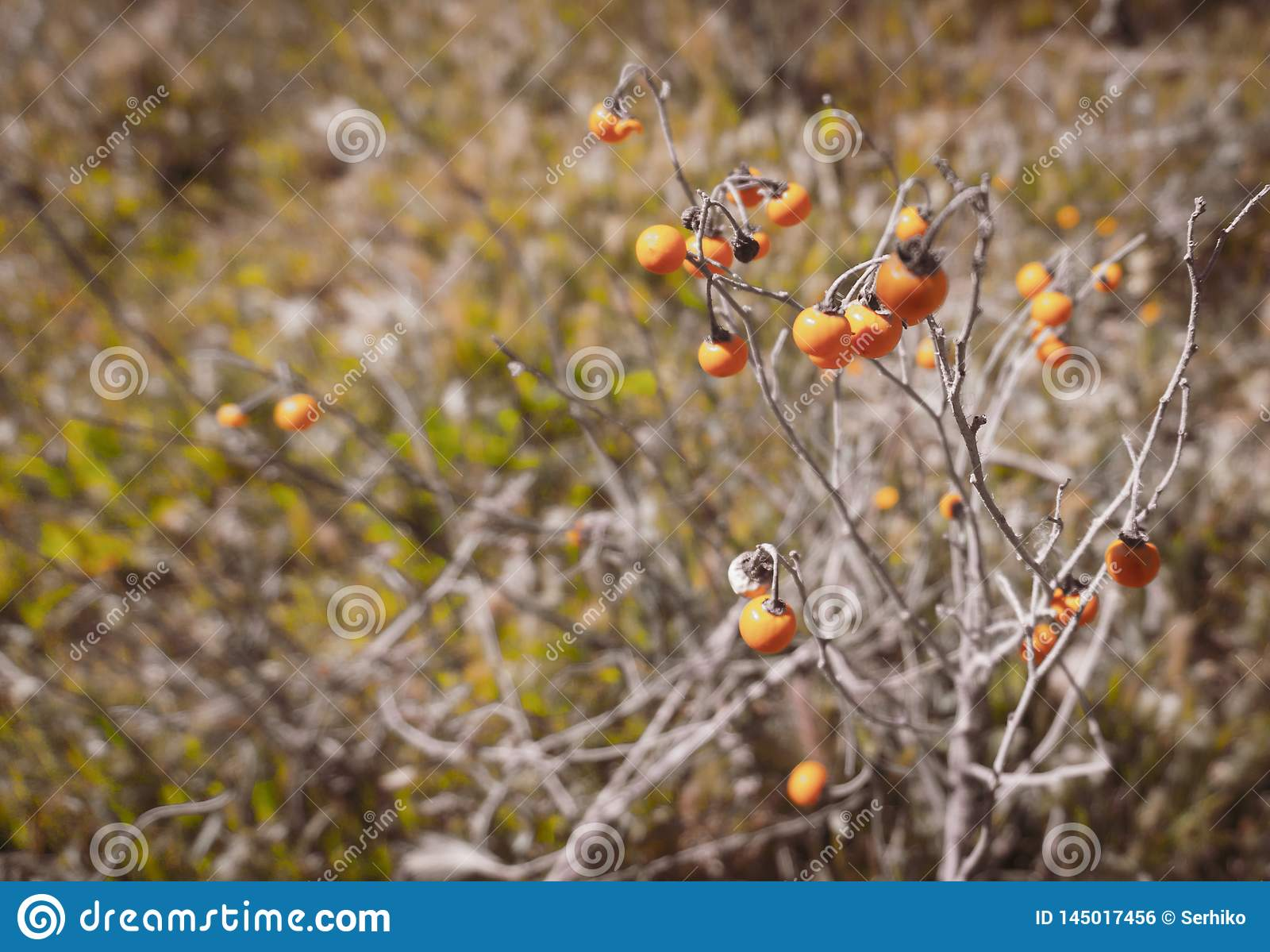 野生卡罗来纳州horsenettle莓果