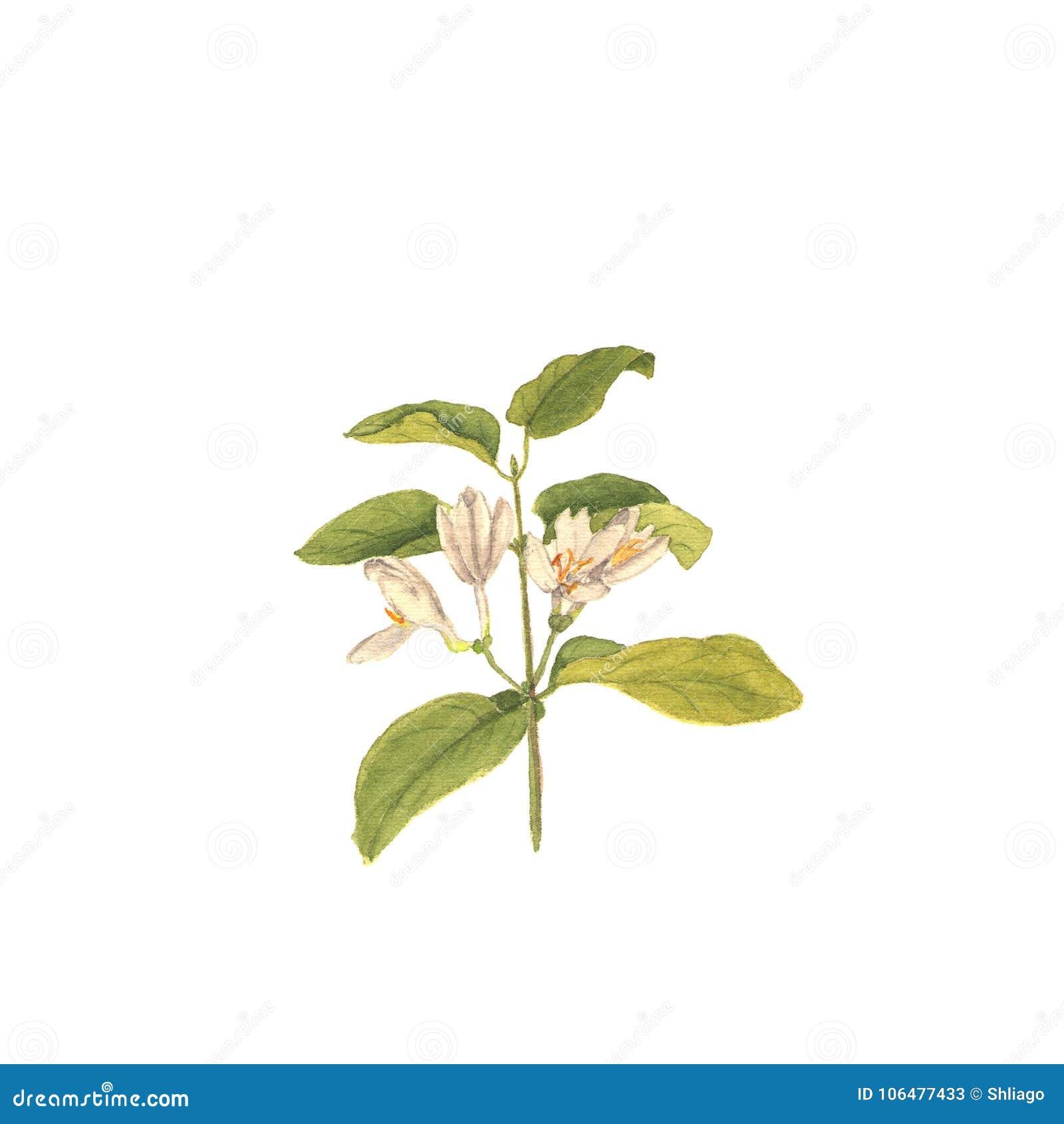 野生忍冬属植物,手画水彩例证分支