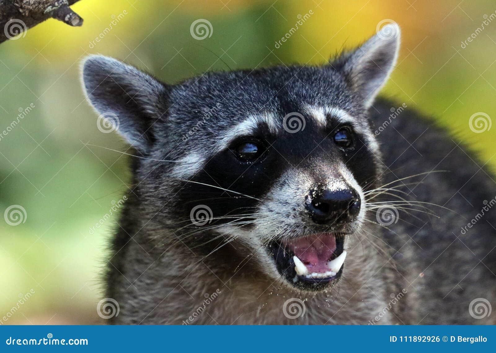 野生恼怒的浣熊在哥斯达黎加等待的食物密林