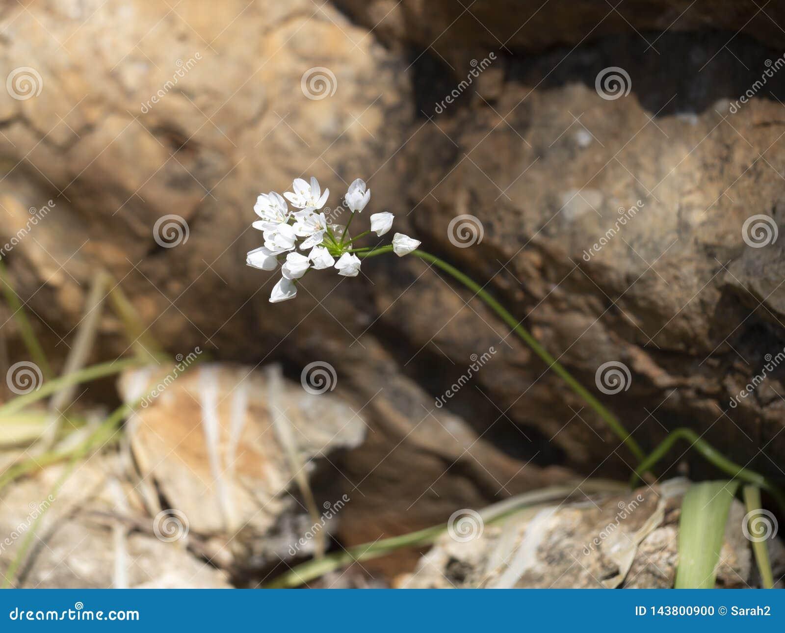 野生蒜植物努力在岩石地形生存 尽管困难的一个幸存者