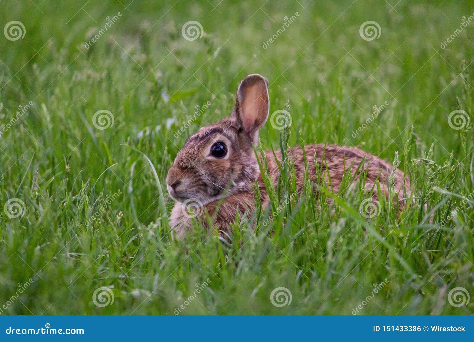 野生逗人喜爱的兔子坐在绿色领域射击的草从接近