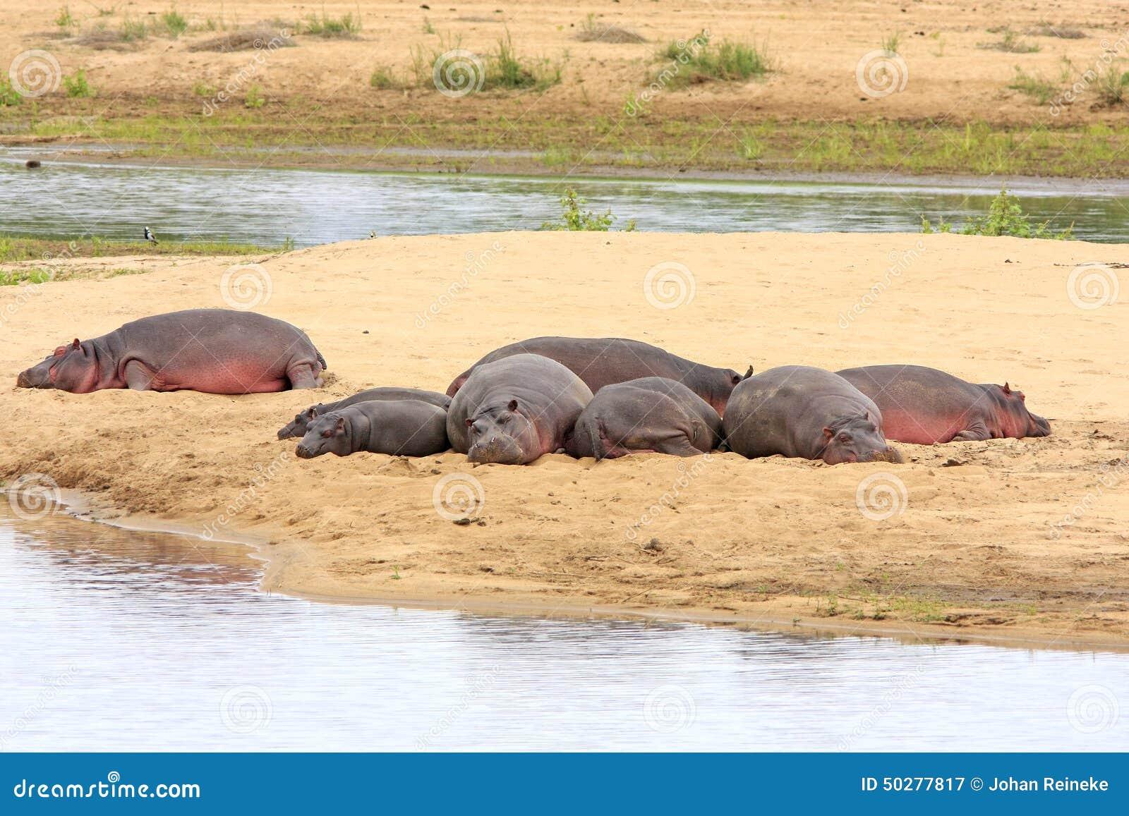 野生非洲河马