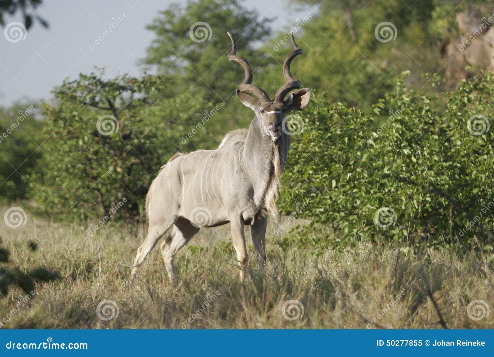 野生非洲羚羊,
