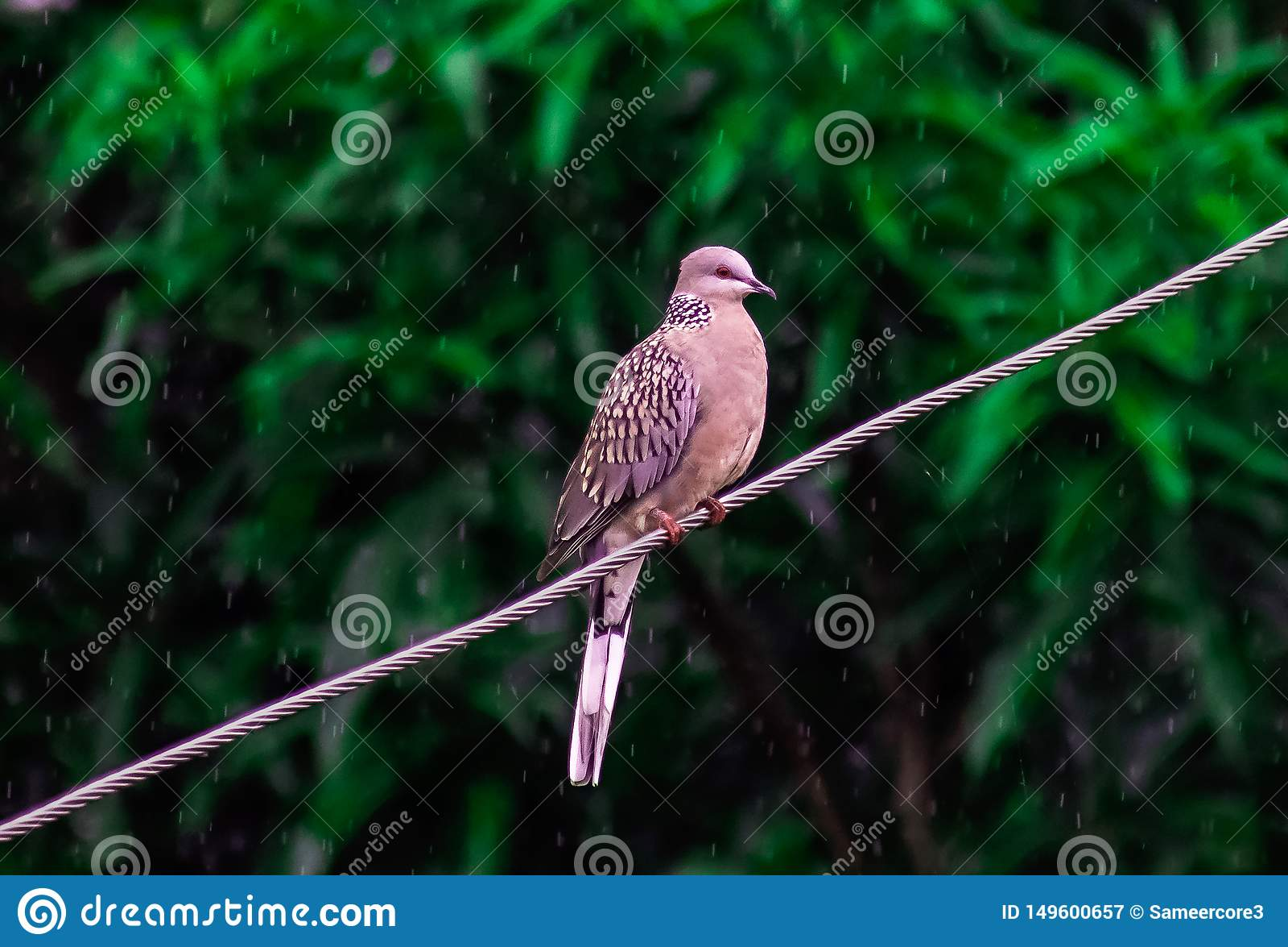 野生鸽子鸟在雨中导线季风印度