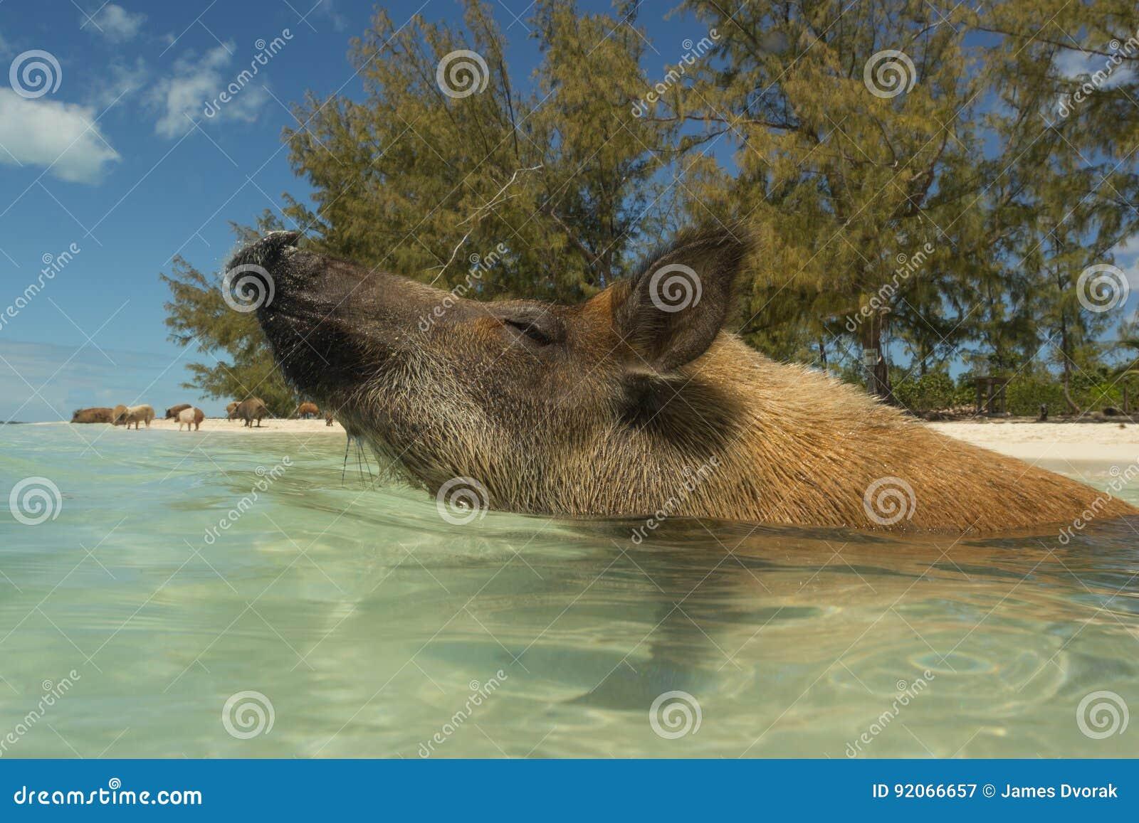 野生巴哈马群岛的猪