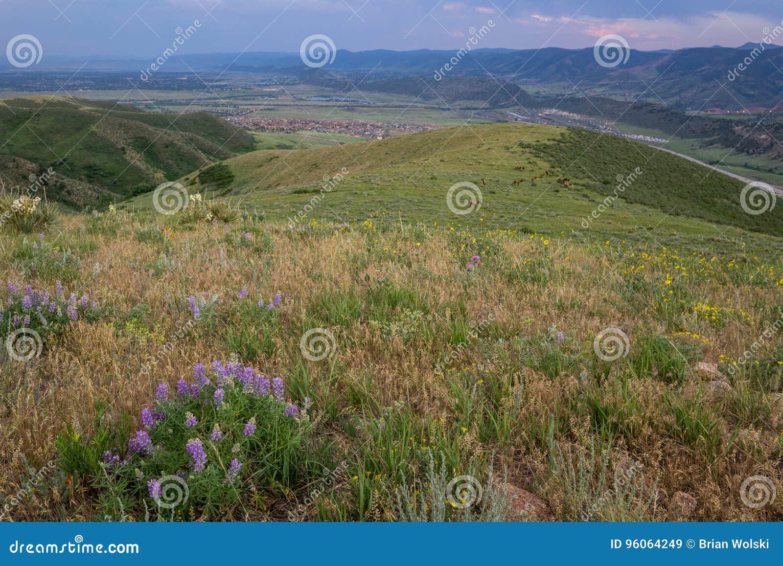 野花和麋在绿色山 Lakewood,科罗拉多