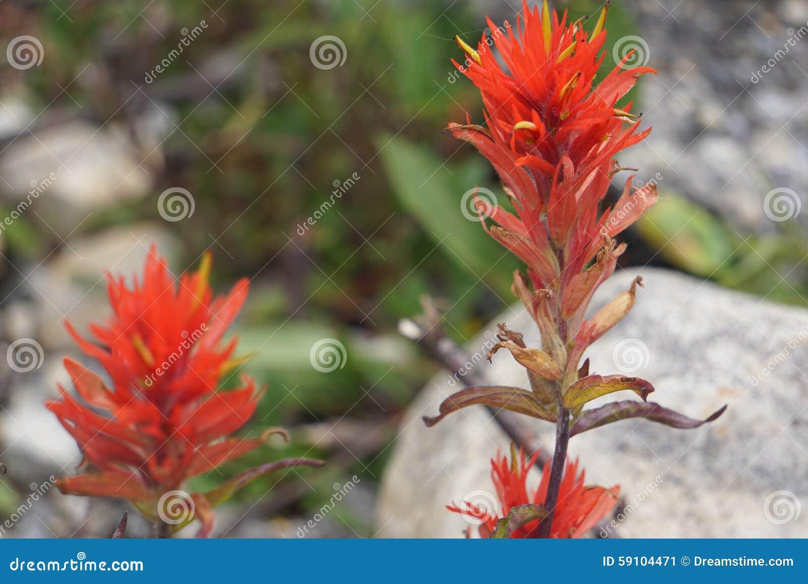 野花在加拿大罗基斯