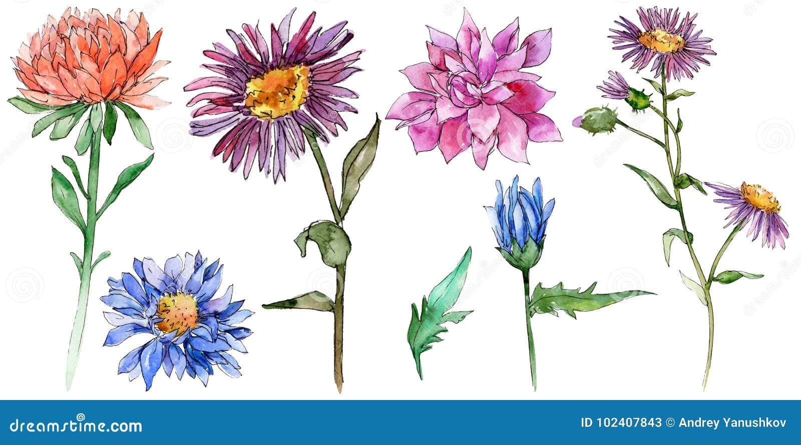 野花在水彩样式的chrysantemum花被隔绝的